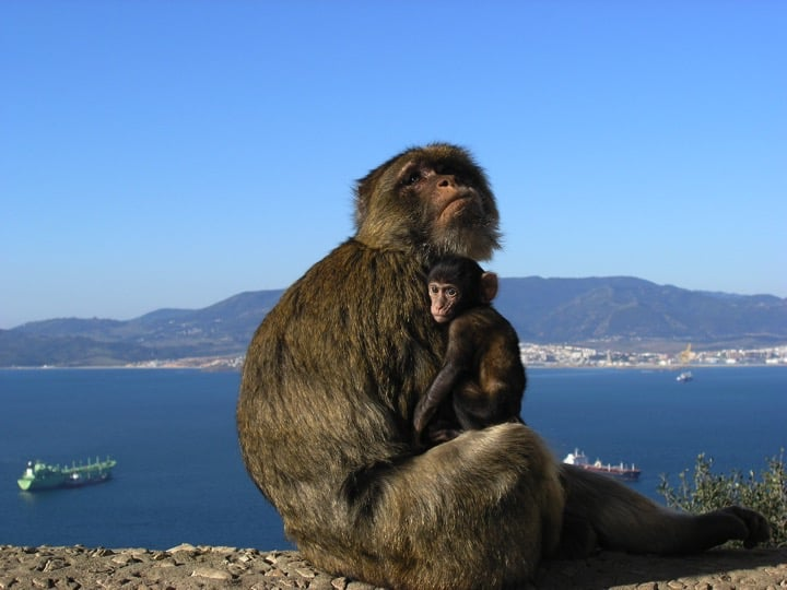 Gibraltar's Barbary macaques are a species of tailless monkey. They are found in Morocco and Algeria. Those found in Gibraltar are the only wild monkeys in Europe; Copyright Prof John Cortes