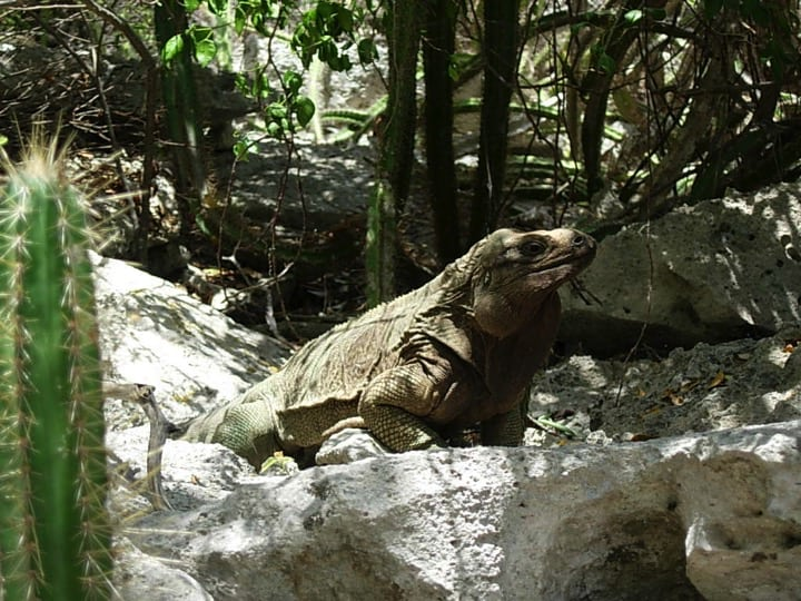 Endemic iguana of the British Virgin Islands (Cyclura pinguis); Copyright National Parks Trust of the Virgin Islands