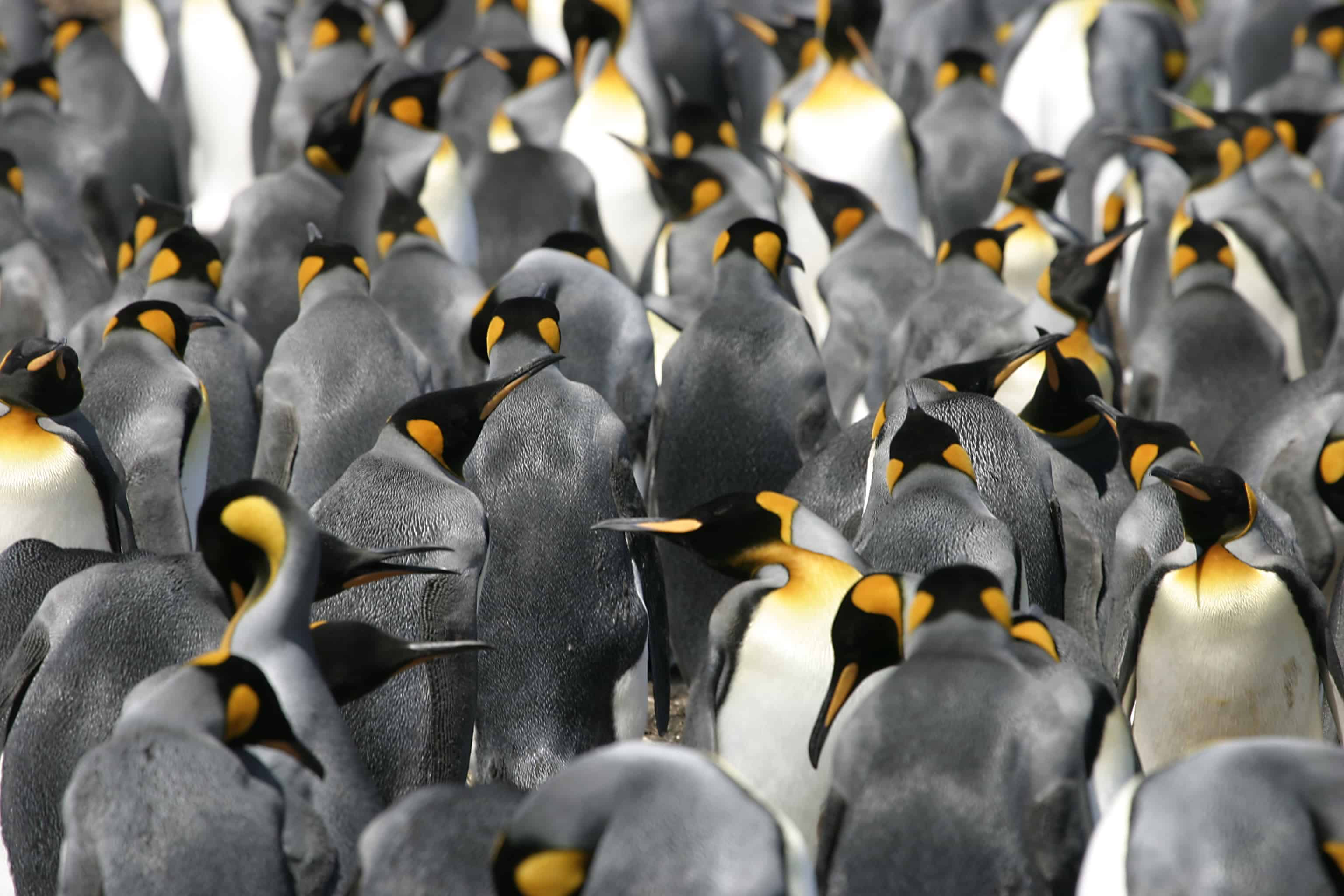 King penguins in the Falkland Islands; Copyright: Tim Earl