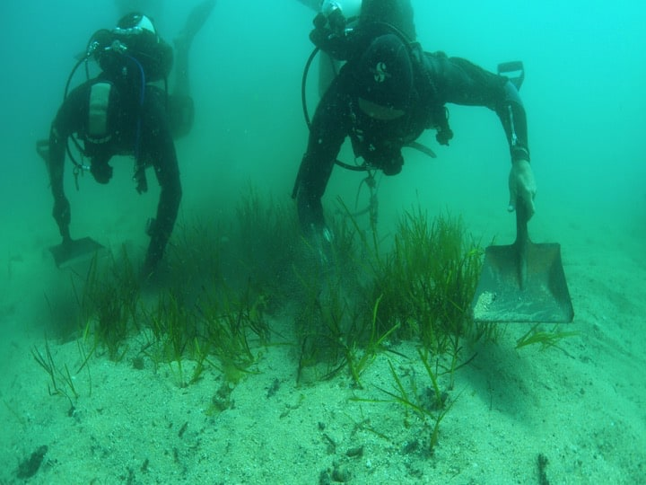 Transplanting of sea-grass. Copyright: HMGOG/GONHS