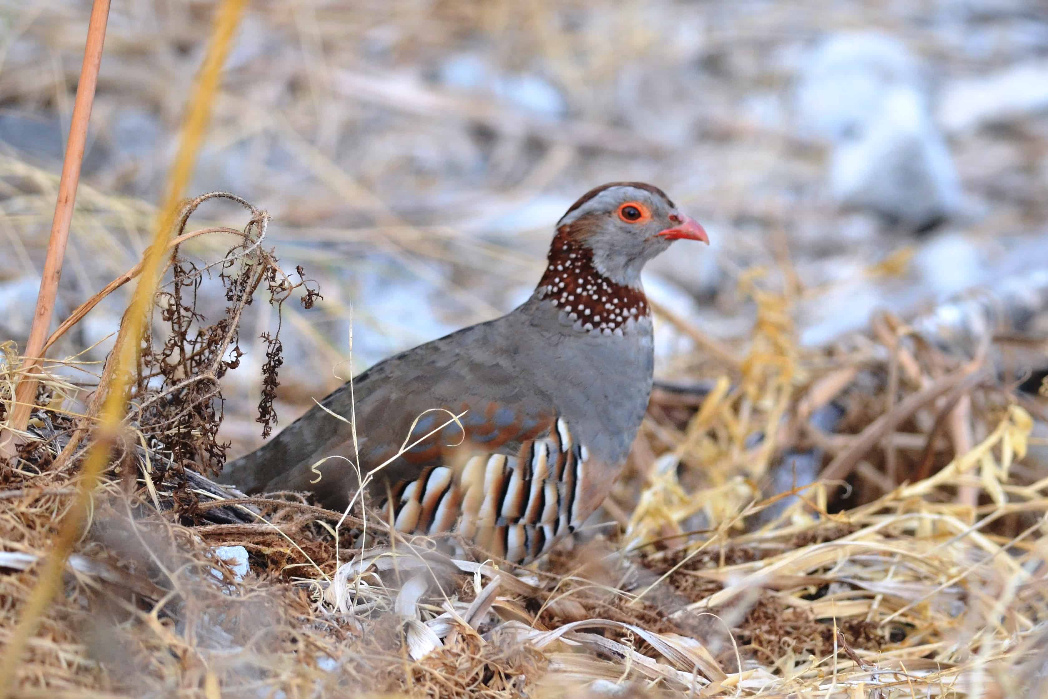 Barbary partridge adult in the wild; Copyright: Andrew Dobson