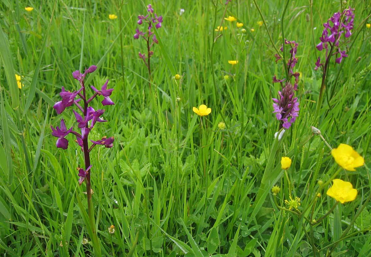 Jersey orchid Anacamptis laxiflora. By Rolf Thum - eigene Aufnahme von Rolf Thum, CC BY-SA 3.0, Source.
