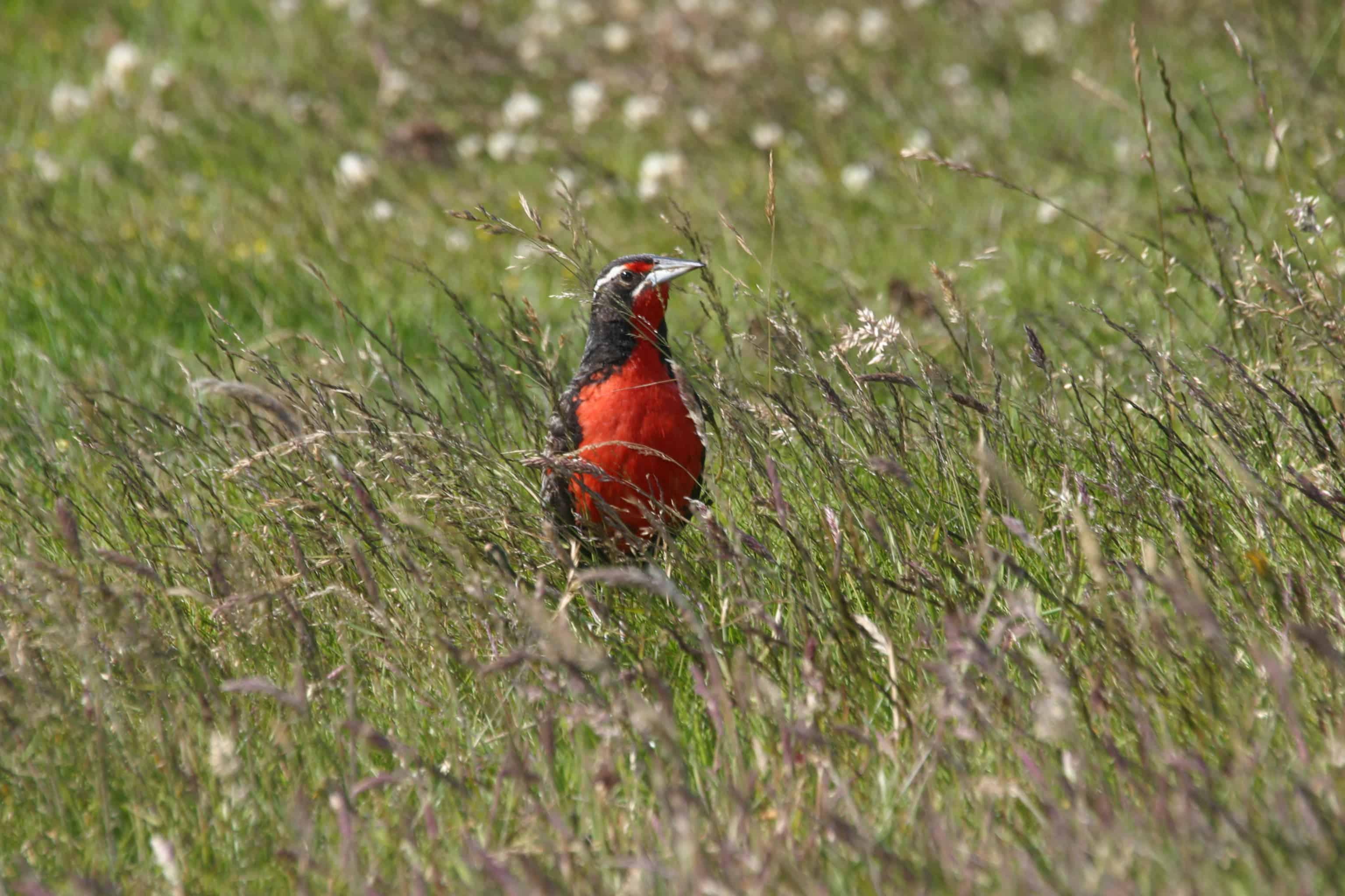 Long-tailed meadowlark, Pebble Island; Copyright: Dr Mike Pienkowski