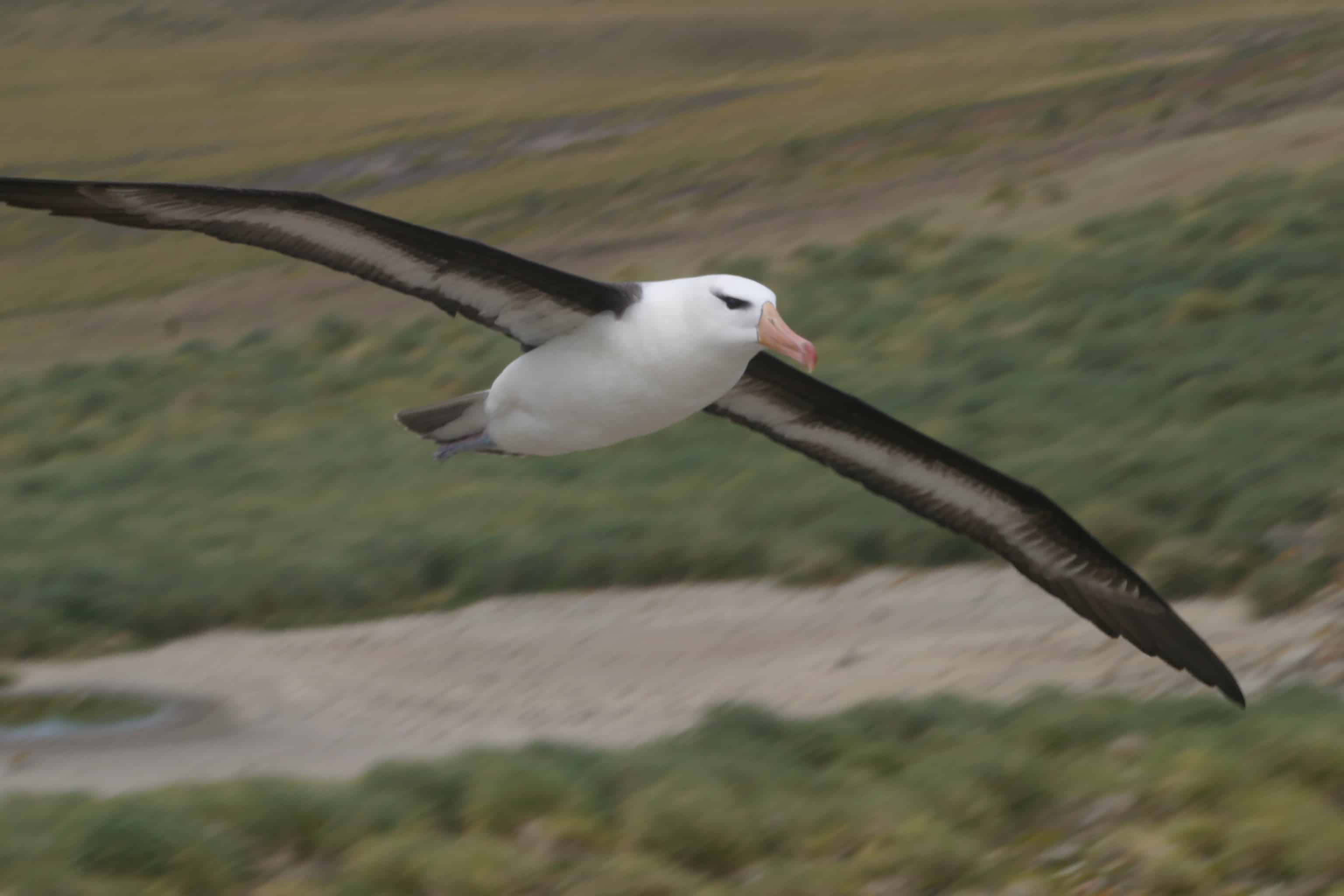 Black-browed albatross flies into colony at New Island; The Falklands support the majority of the world's population. Copyright: Dr Mike Pienkowski