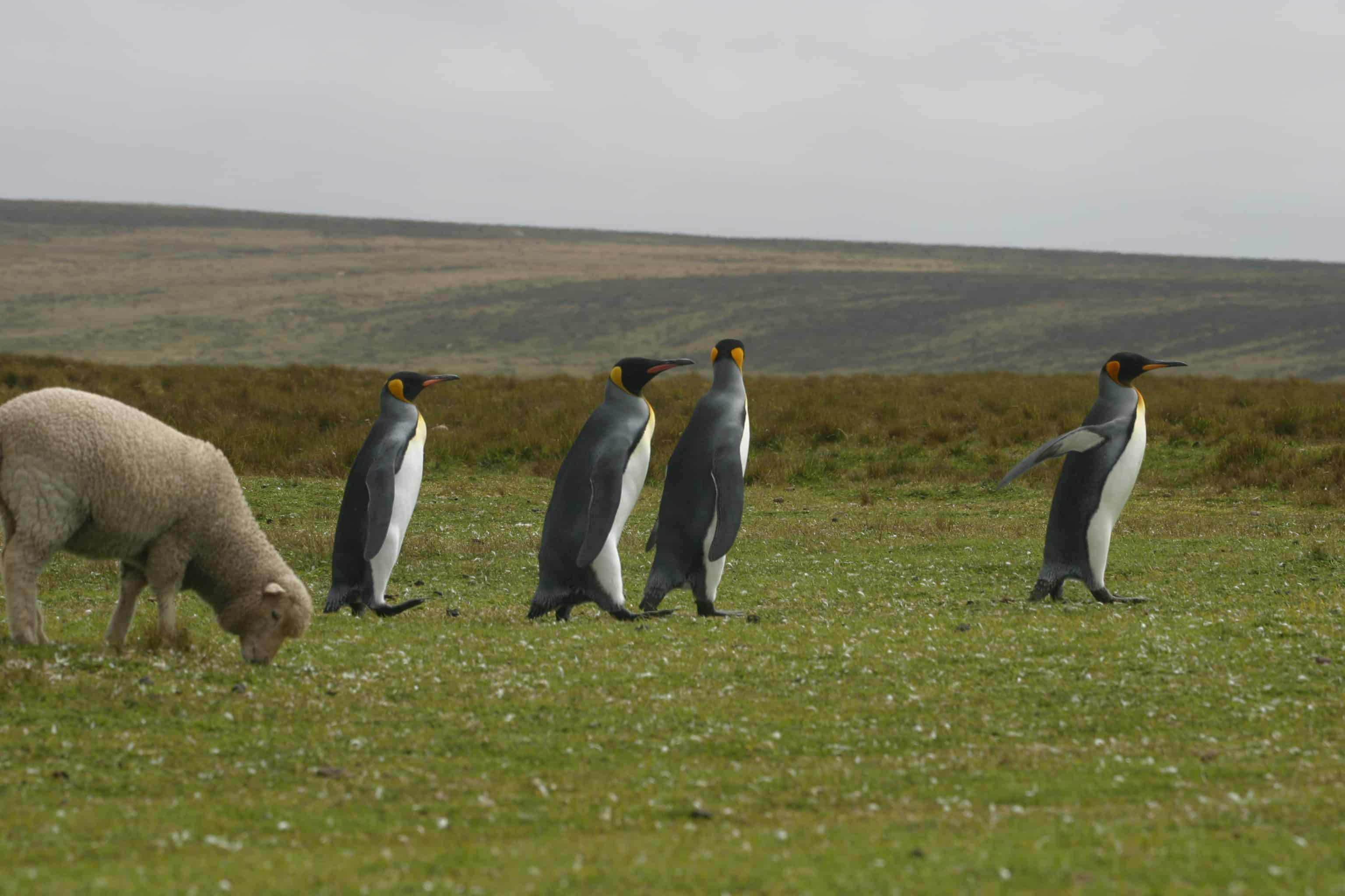 King penguins, returning from fishing to their colony at Volunteer Point, march past sheep. Copyright: Dr Mike Pienkowski