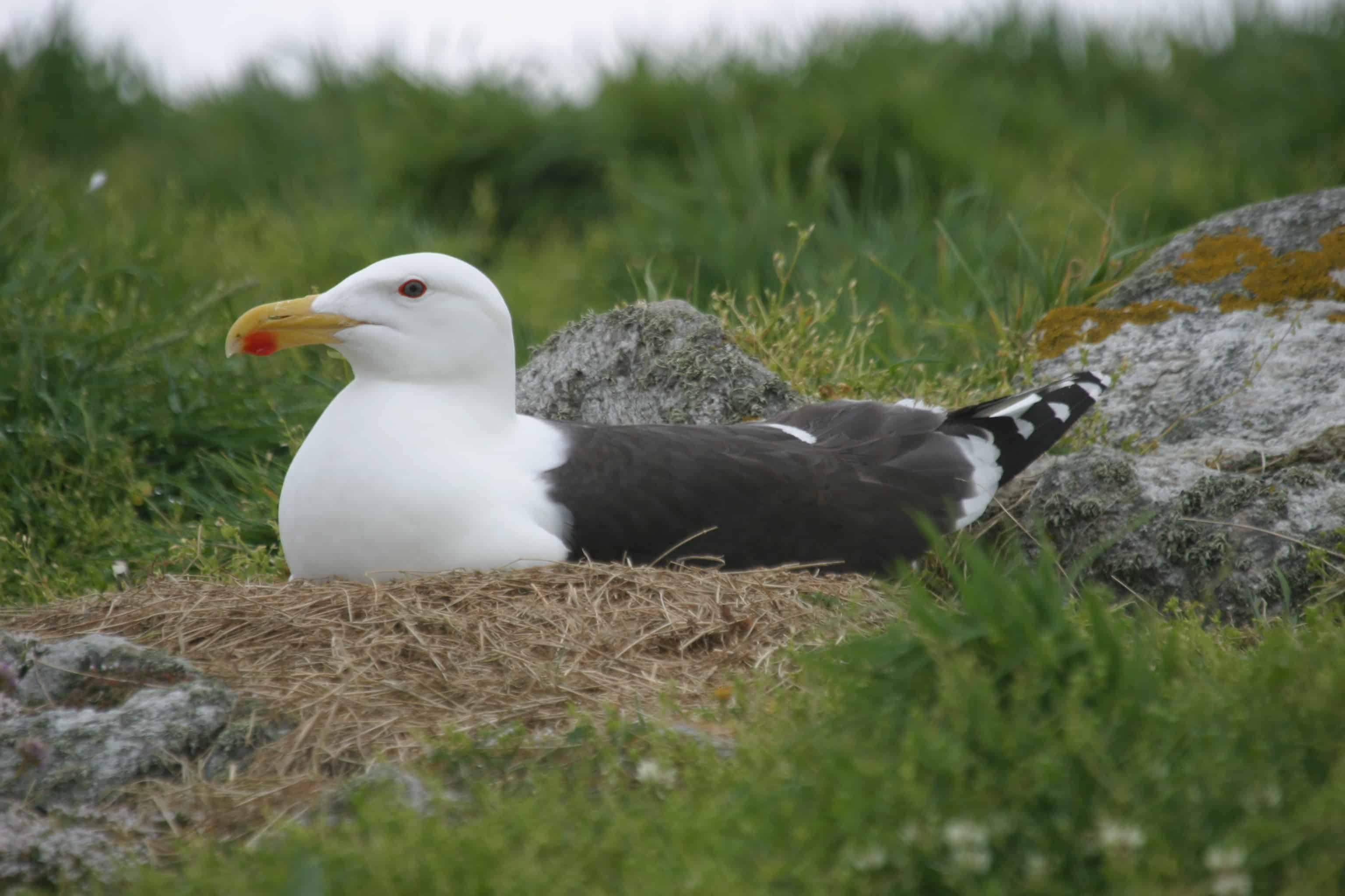 Great black-backed gull on nest. Copyright: Dr Mike Pienkowski