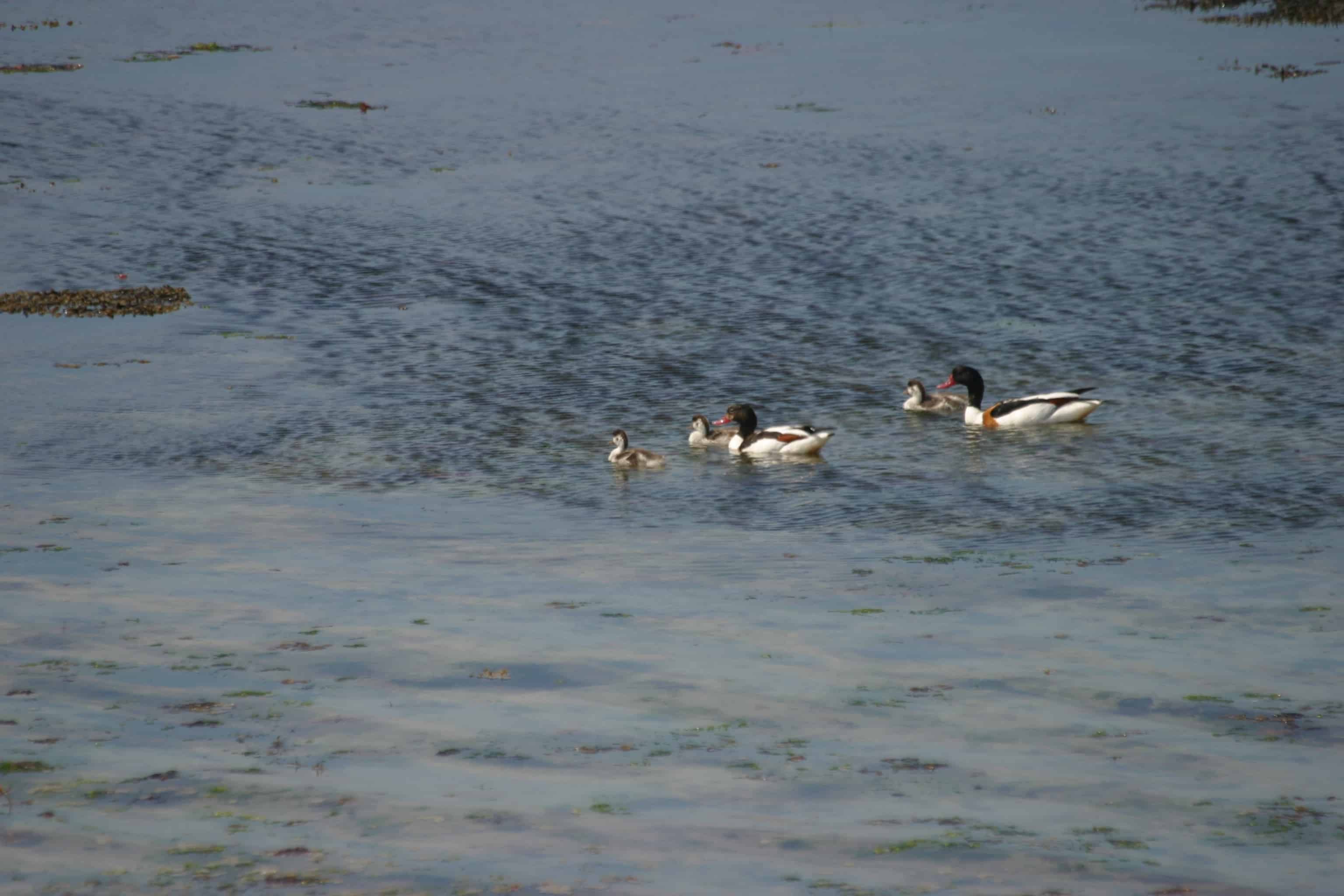 A family of shelducks, one of the species favouring coastal areas; Copyright: Dr Mike Pienkowski