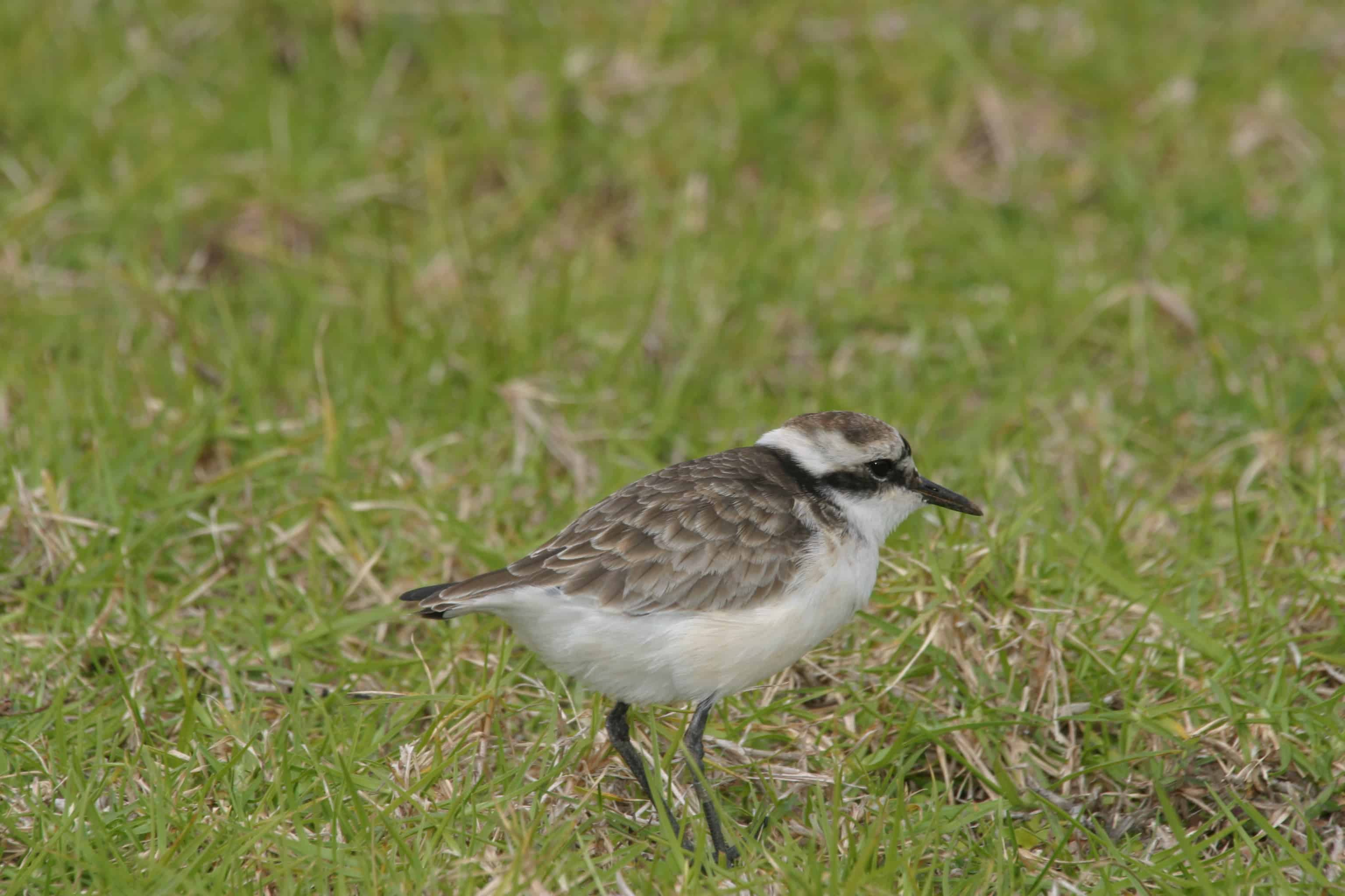 Wirebird (St Helena plover, the only one of several endemic bird species surviving after human discovery of the Island. Copyright: Dr Mike Pienkowski