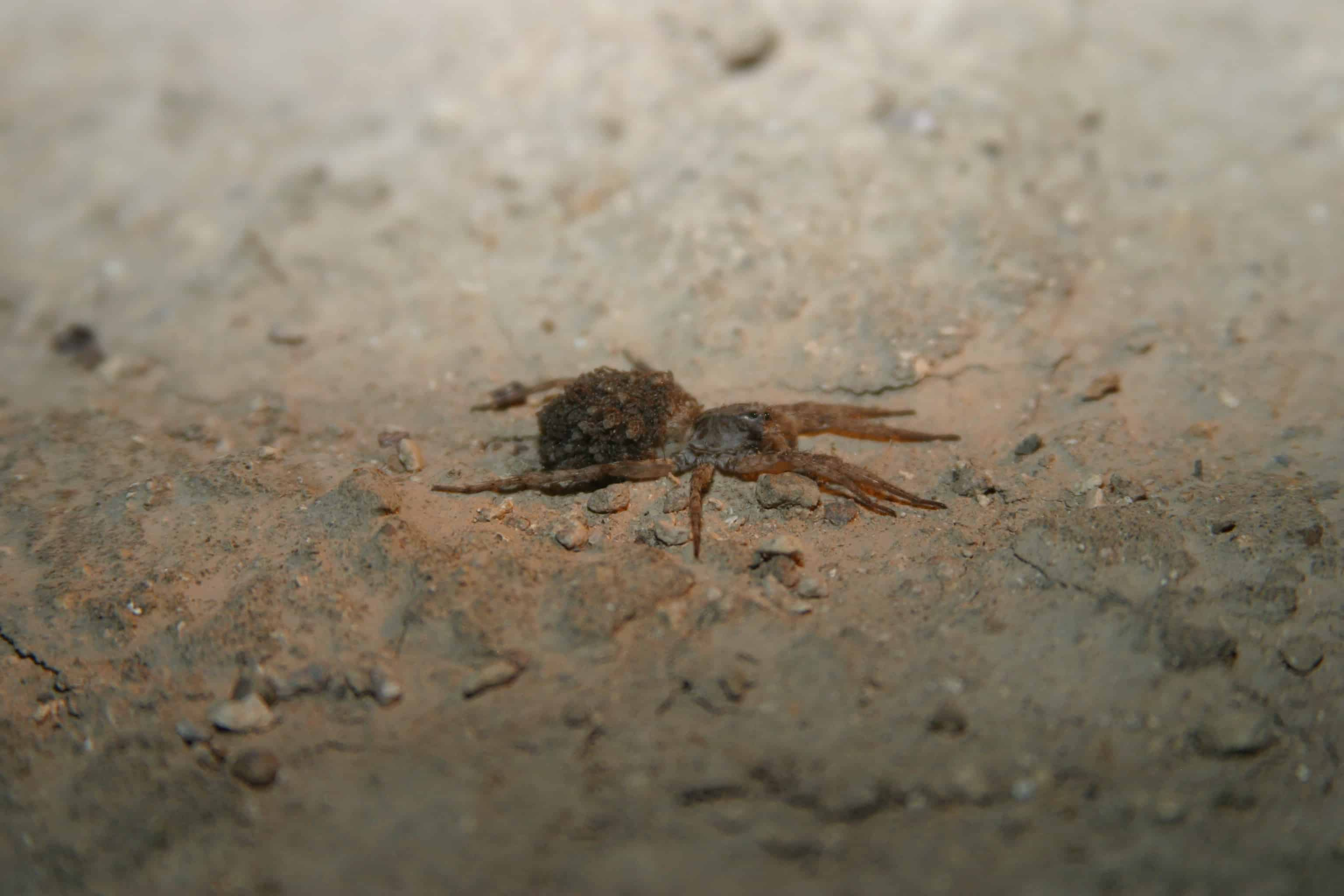 Wolf spider carries young, one of the huge number of invertebrates depending on the desert plain part of which was used for the airport construction; Copyright: Dr Mike Pienkowski