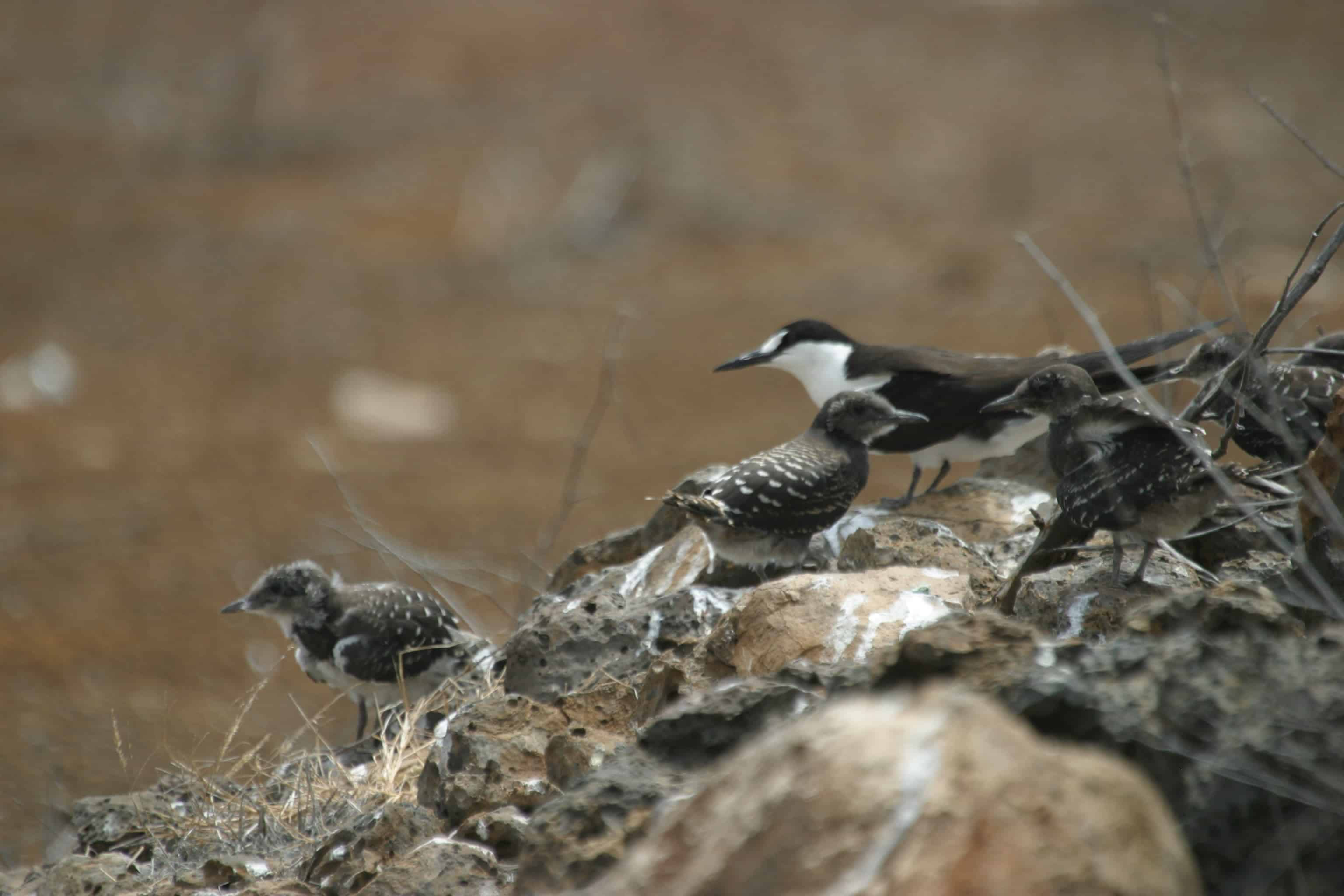 Sooty tern with chicks, one of the very few seabird species surviving as a breeding population on Ascension itself, before the restoration programme. Copyright: Dr Mike Pienkowski