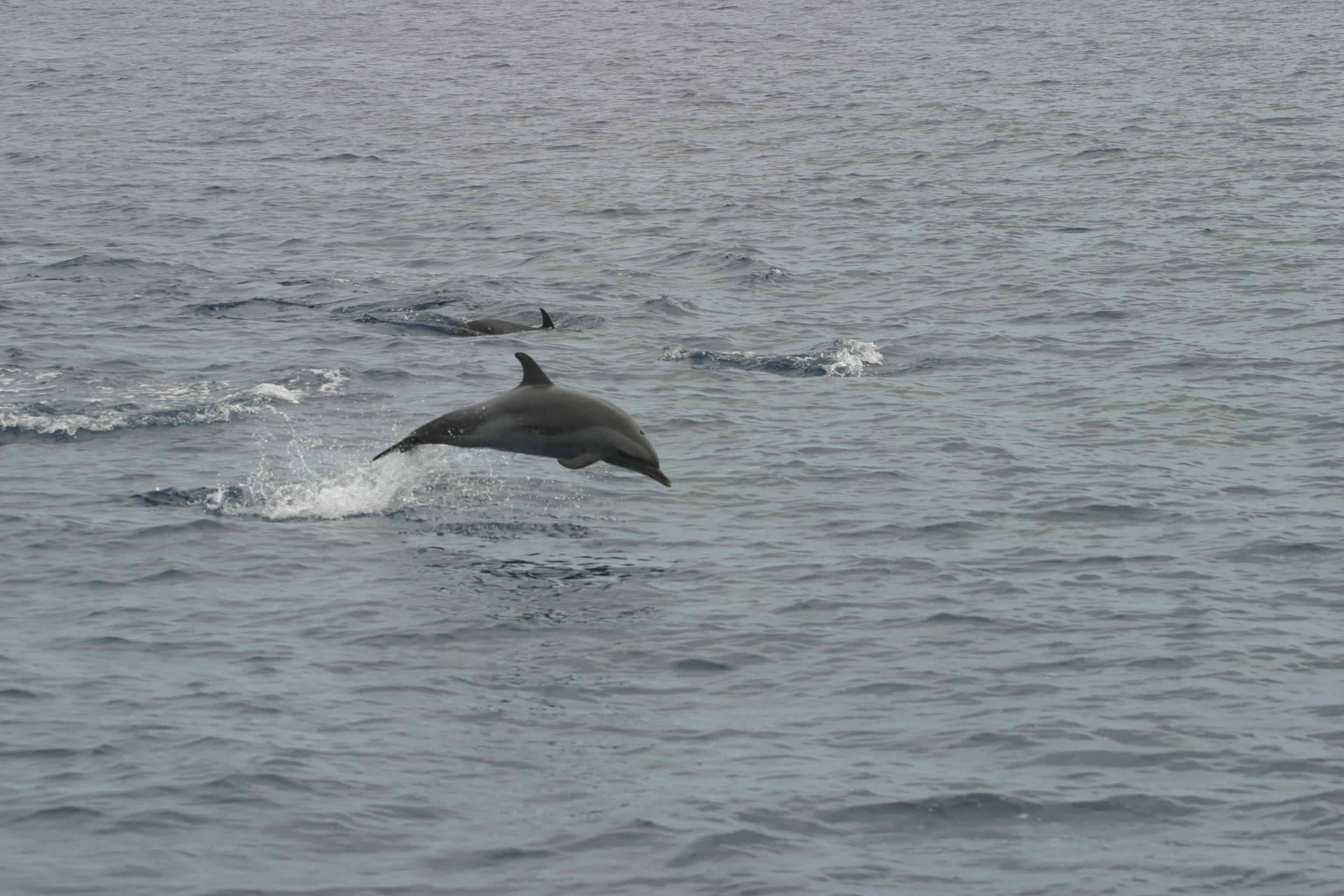 Pantropical spotted dolphins at St Helena. Copyright: Dr Mike Pienkowski