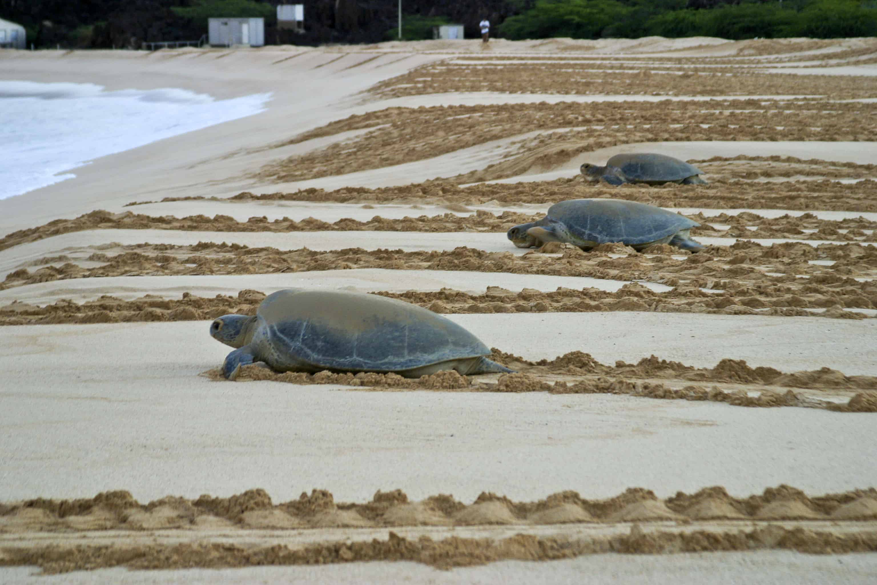 Green turtles return to sea after egg-laying on the main colony beach beside Georgetown. Copyright: Dr Mike Pienkowski