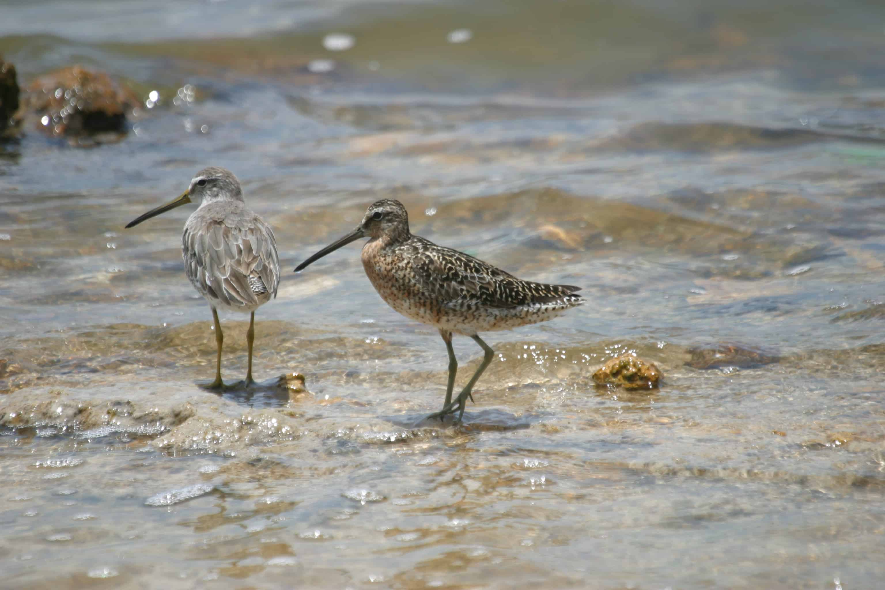 Short-billed dowitchers, migrant shorebirds from northern breeding grounds feed in the shallows: winter plumage on left and moulting into breeding plumage on right. Copyright: Dr Mike Pienkowski