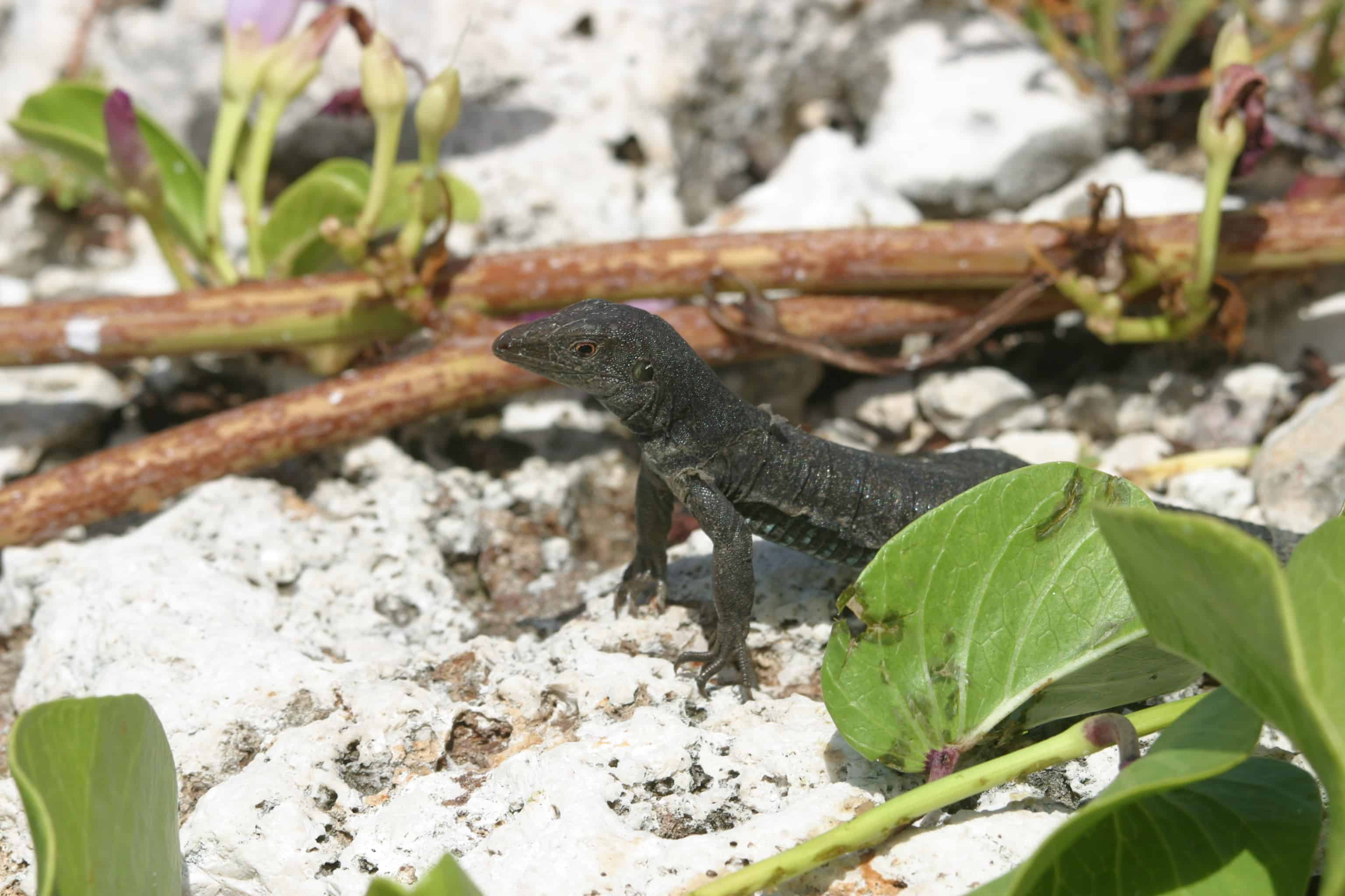 Black lizard, endemic to Sombrero Island. Copyright: Dr Mike Pienkowski