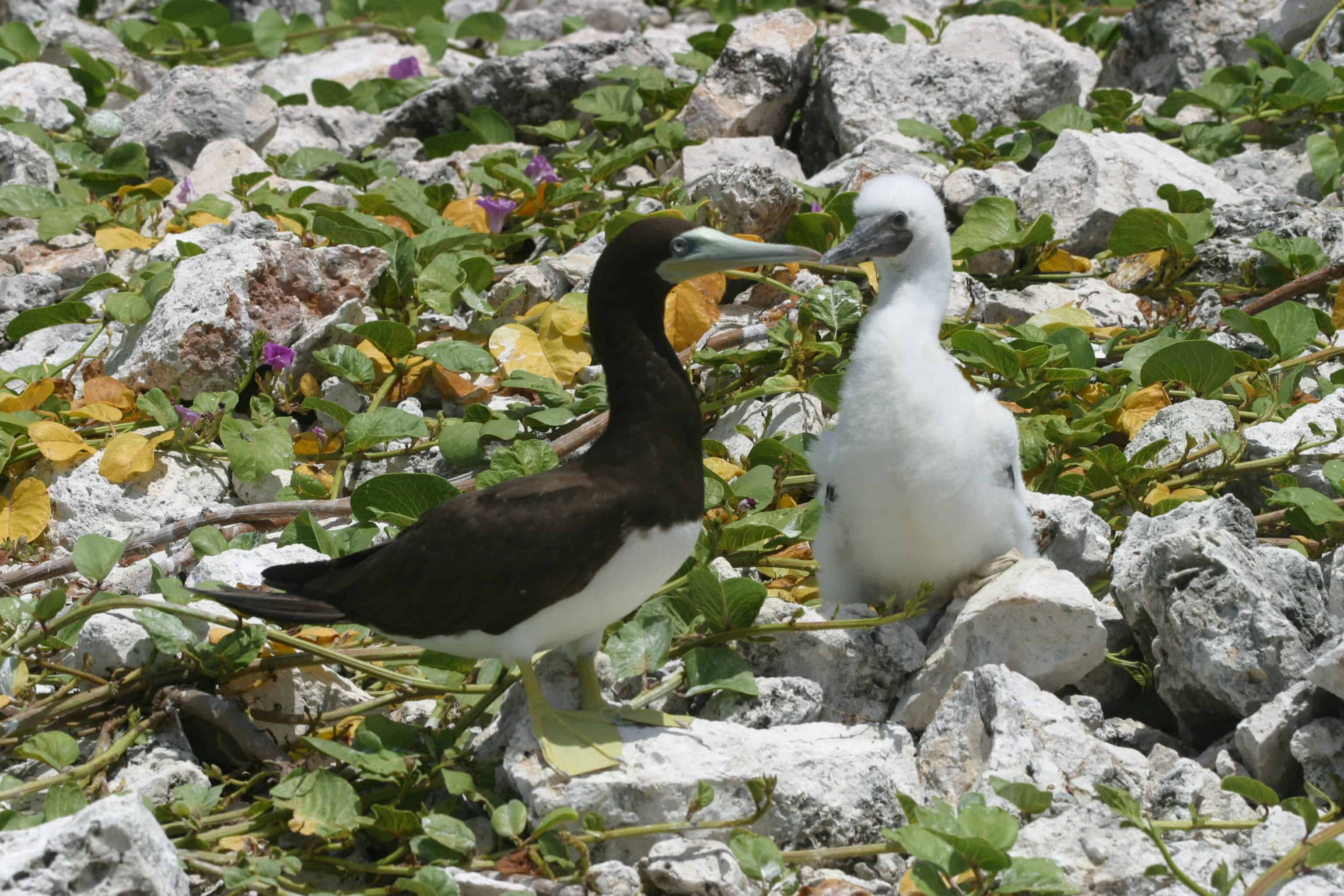 Brown booby with chick, Sombrero. Copyright: Dr Mike Pienkowski