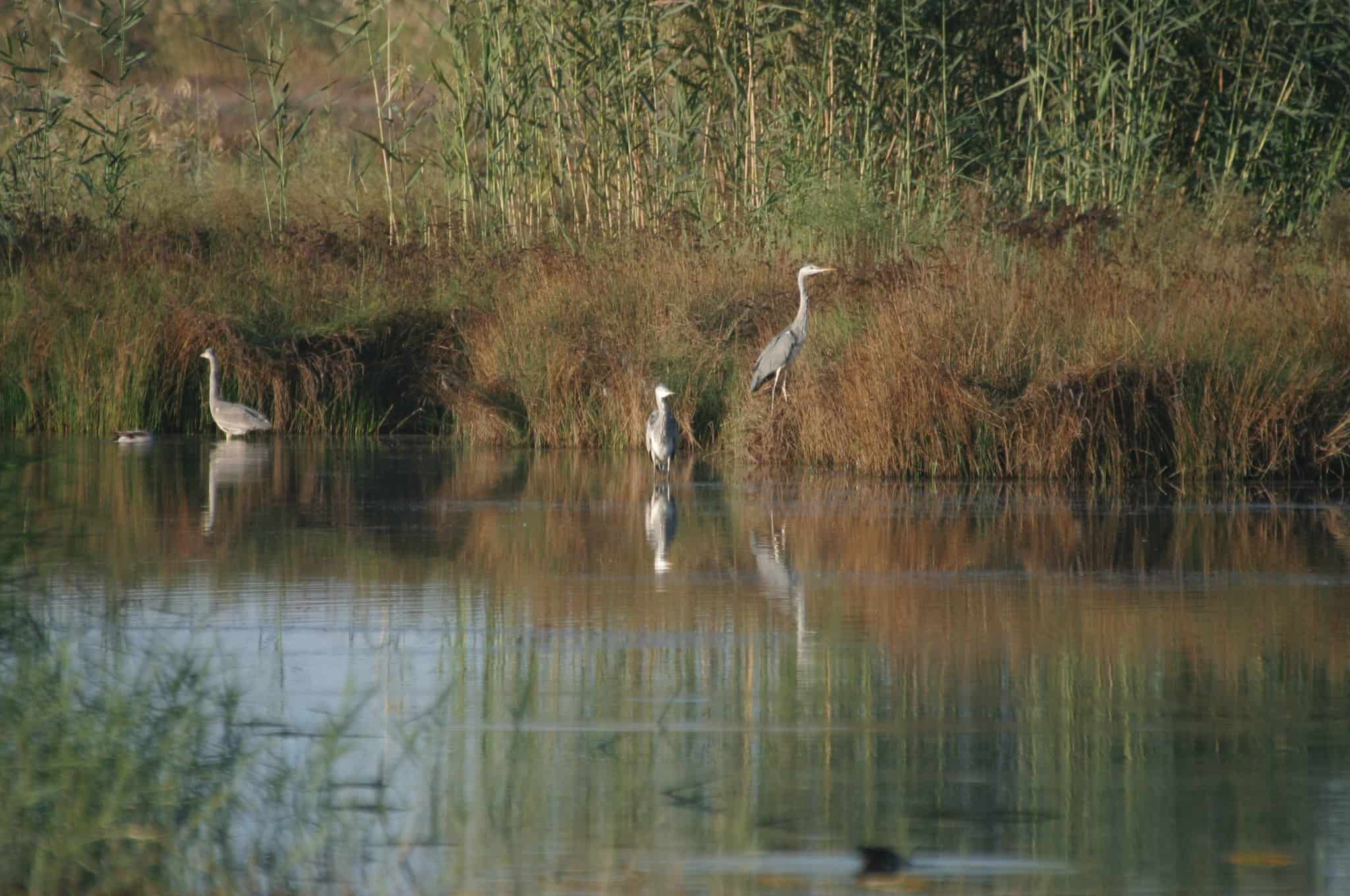 The SBAs hold a variety of habitats, here, herons in a marsh in the WSBA; copyright: Dr Mike Pienkowski