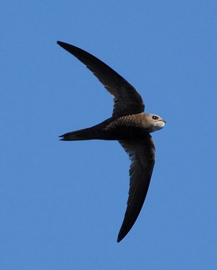 Pallid swift; Copyright: HMGOG/GONHS.