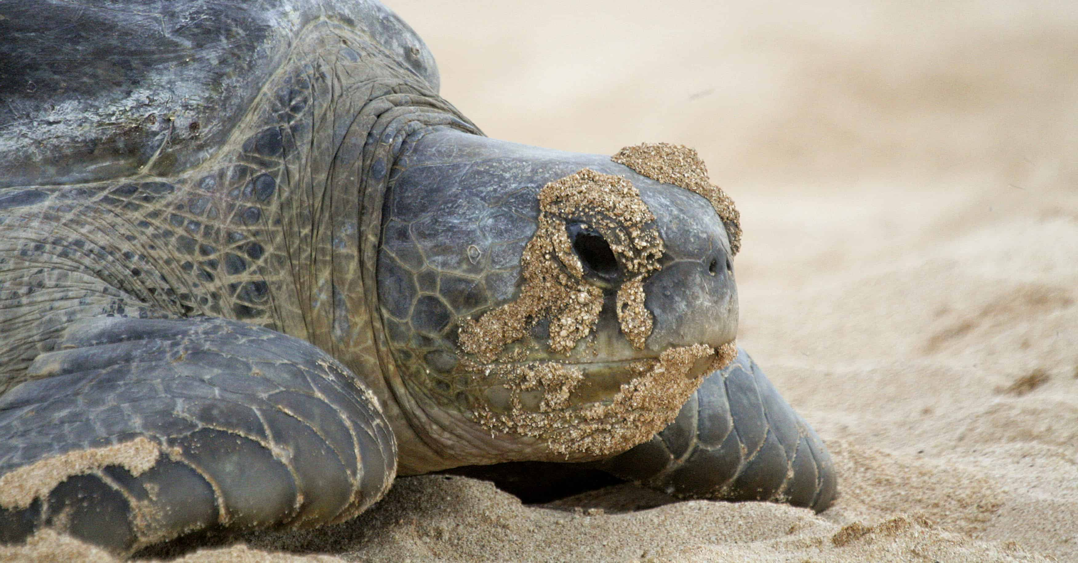 Green turtle on Ascension Island; Copyright: Dr Mike Pienkowski