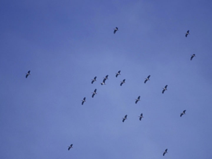 Black storks migrate through along the Strait of Gibraltar