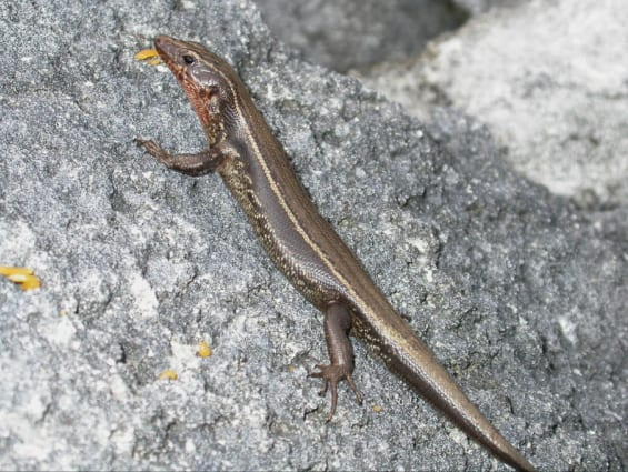 The critically endangered Bermuda skink Plestiodon longirostris. Copyright: Paul Edgar, Amphibian & Reptile Conservation