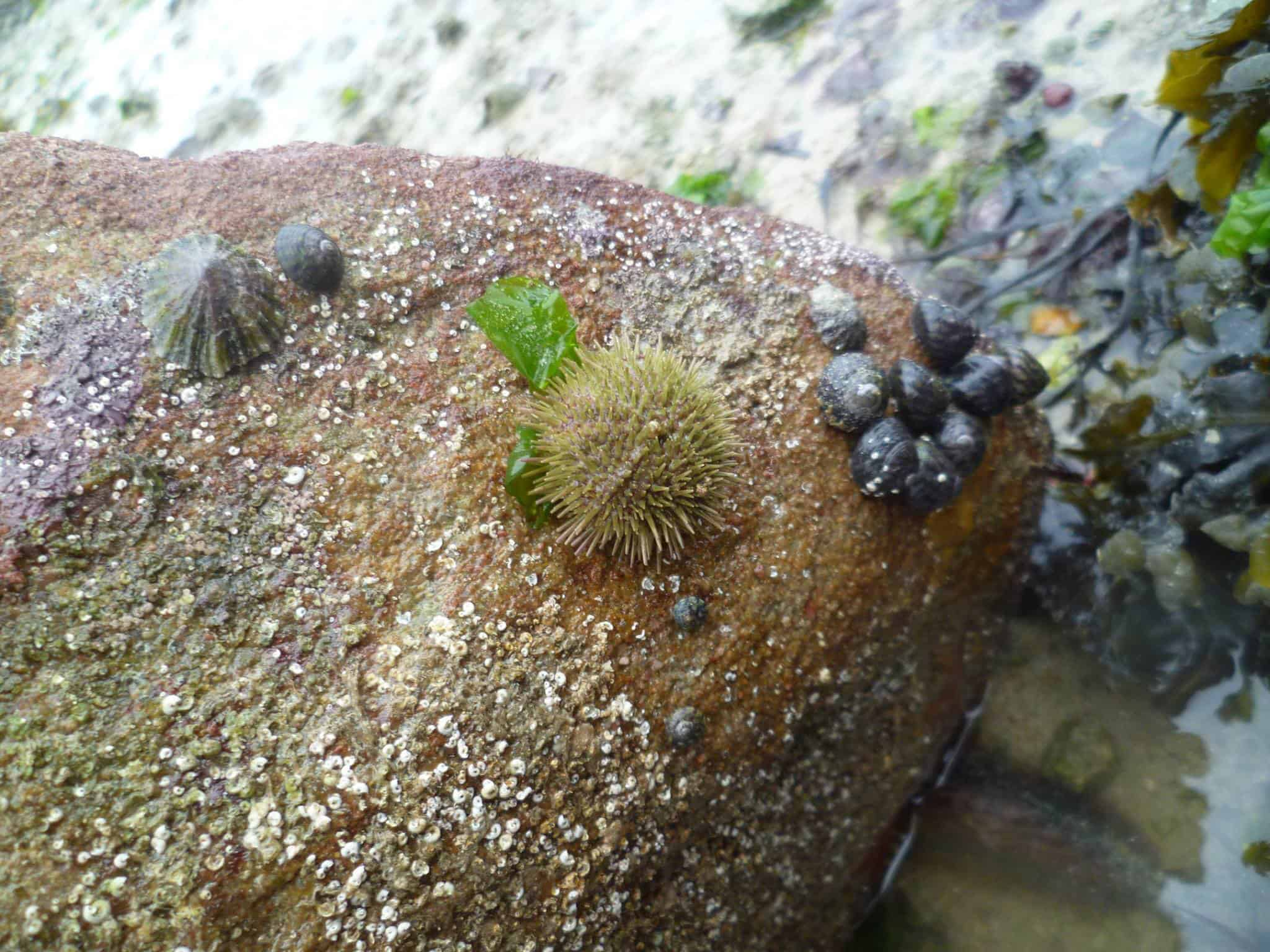A sea urchin, limpets, and periwinkles on a tidal rock. Copyright: Alderney Wildlife Trust