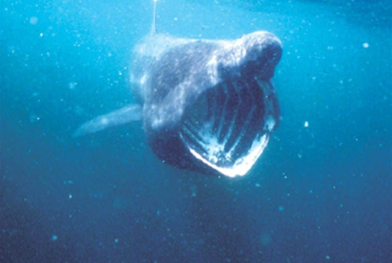 Basking shark. Copyright: Isle of Man Government