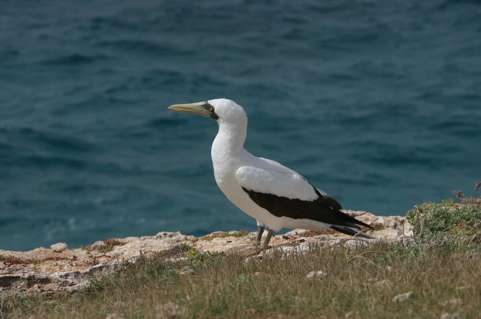 Masked booby at Sombrero; Copyright: Dr Mike Pienkowski