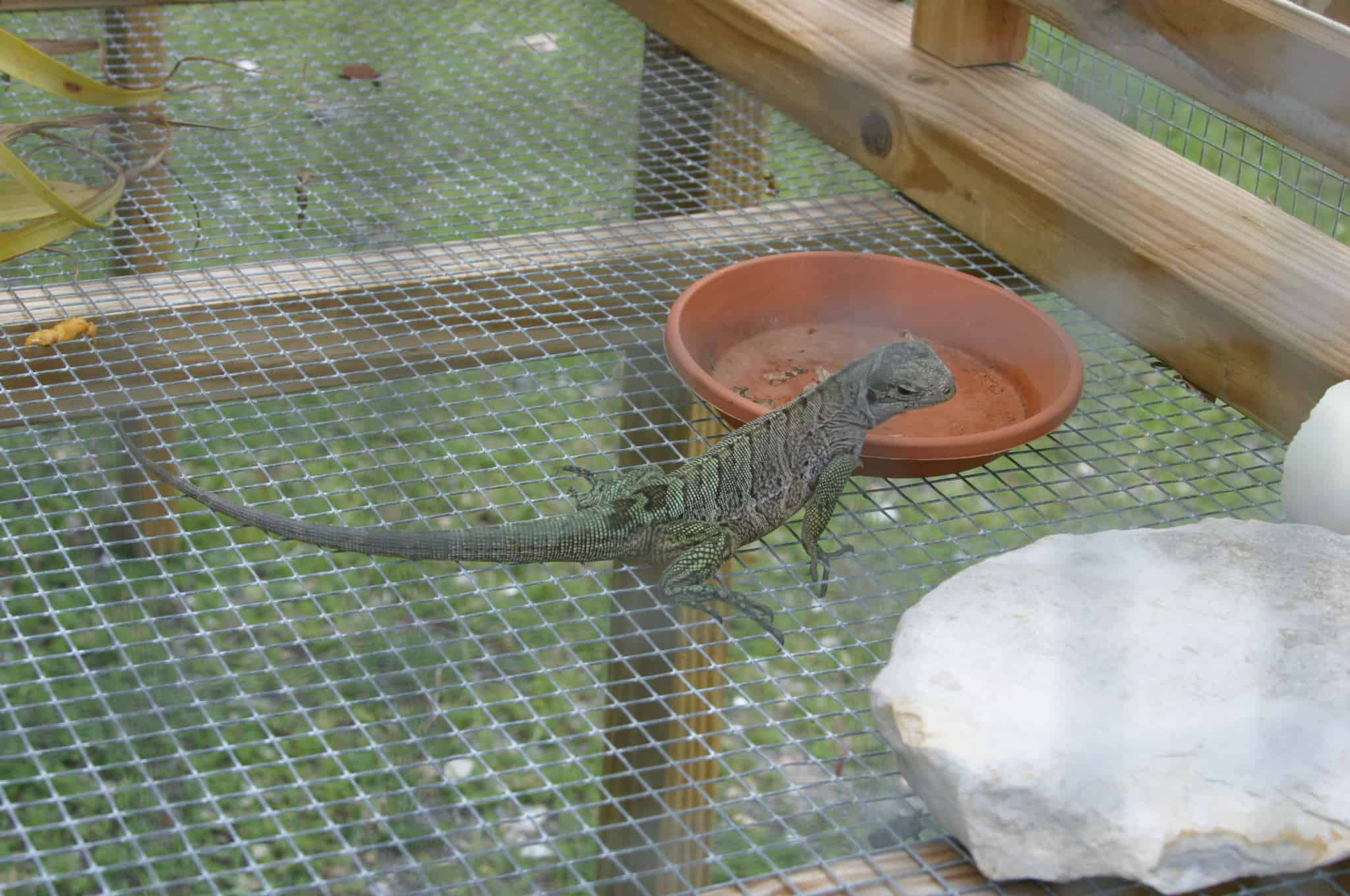 Rock iguana at head-start facility at Anegada. Copyright: Dr Mike Pienkowski