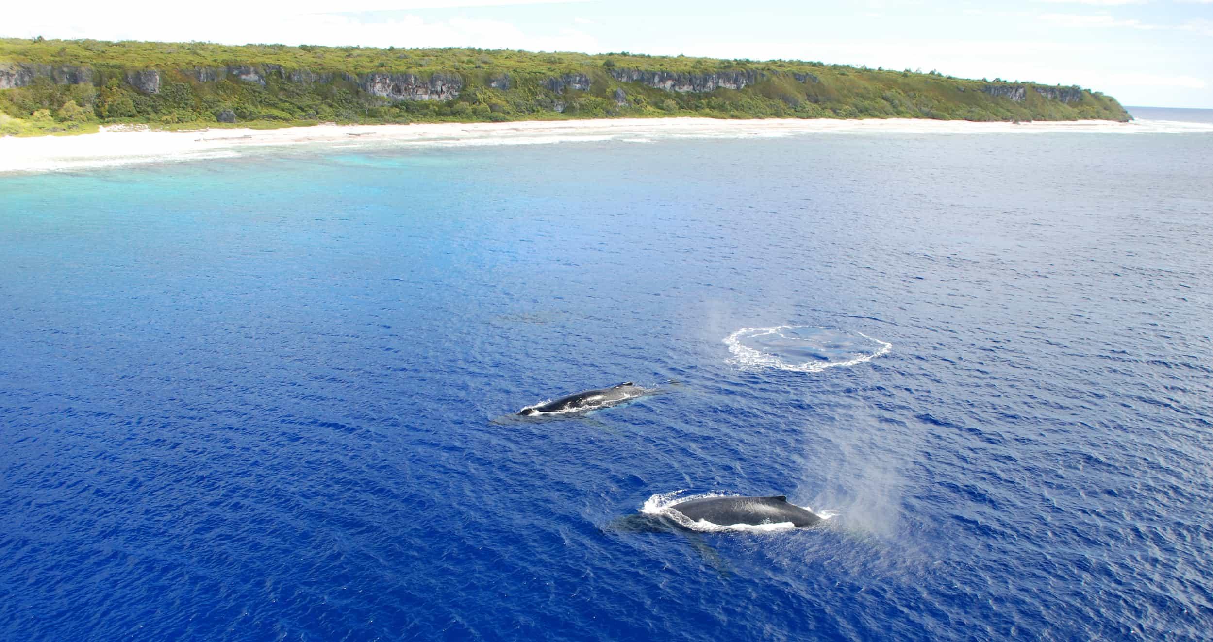 Humpback Whales close to Henderson Island. Photo: Steve Darroch