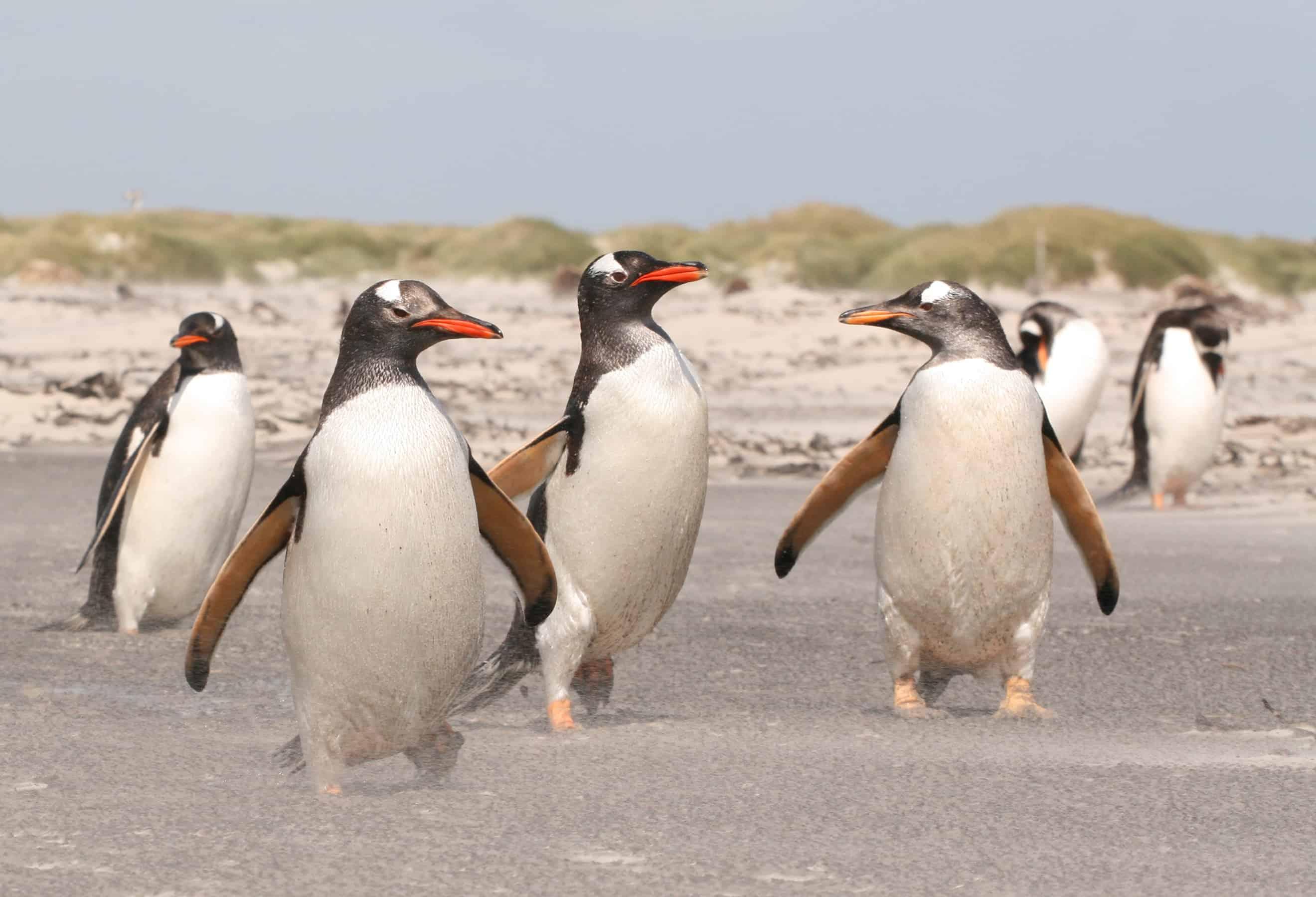 Gentoo march in the Falkland Islands; Copyright: Dr Sam Weber