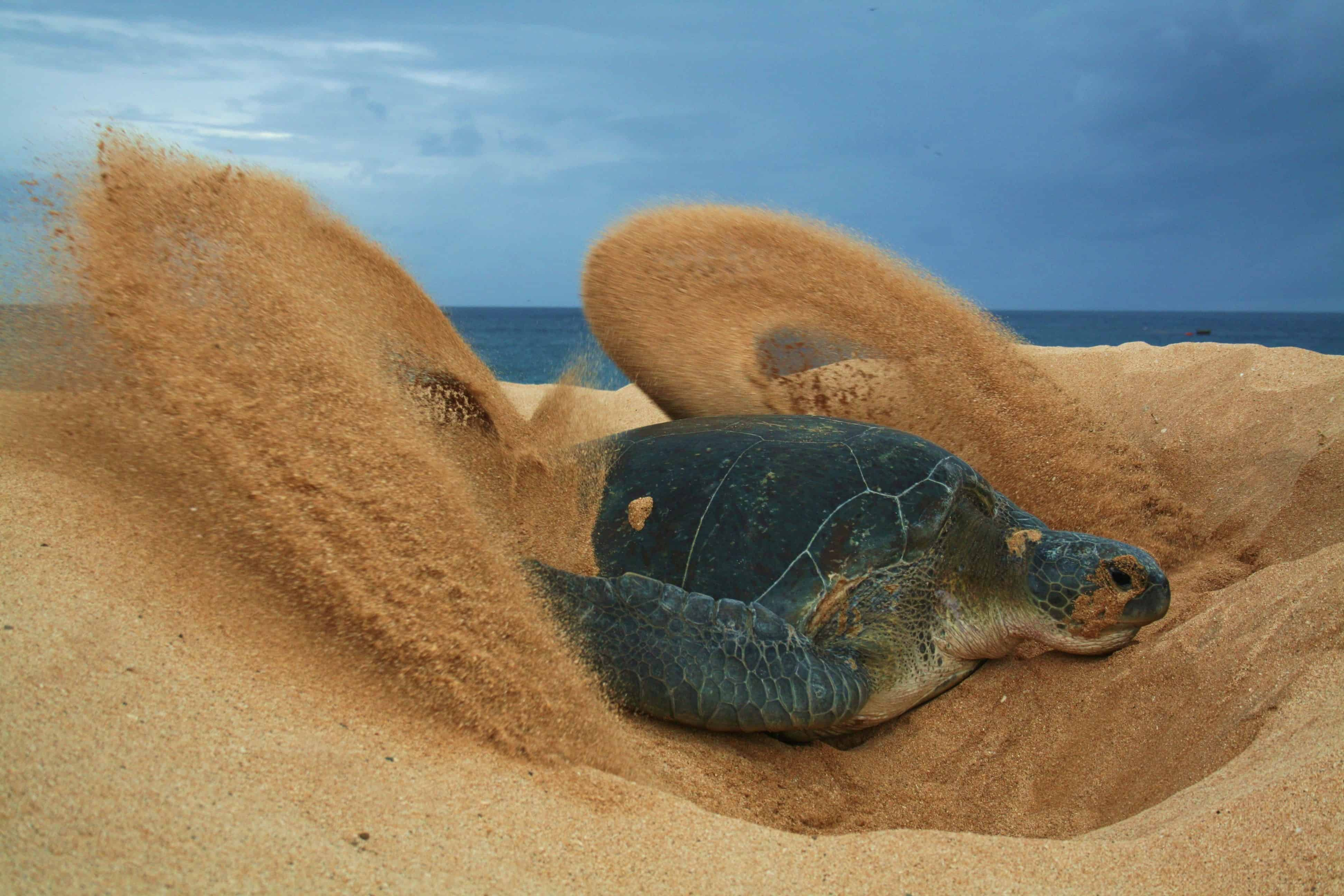 Green turtle covering up its eggs, Ascension Island; Copyright: Dr Sam Weber
