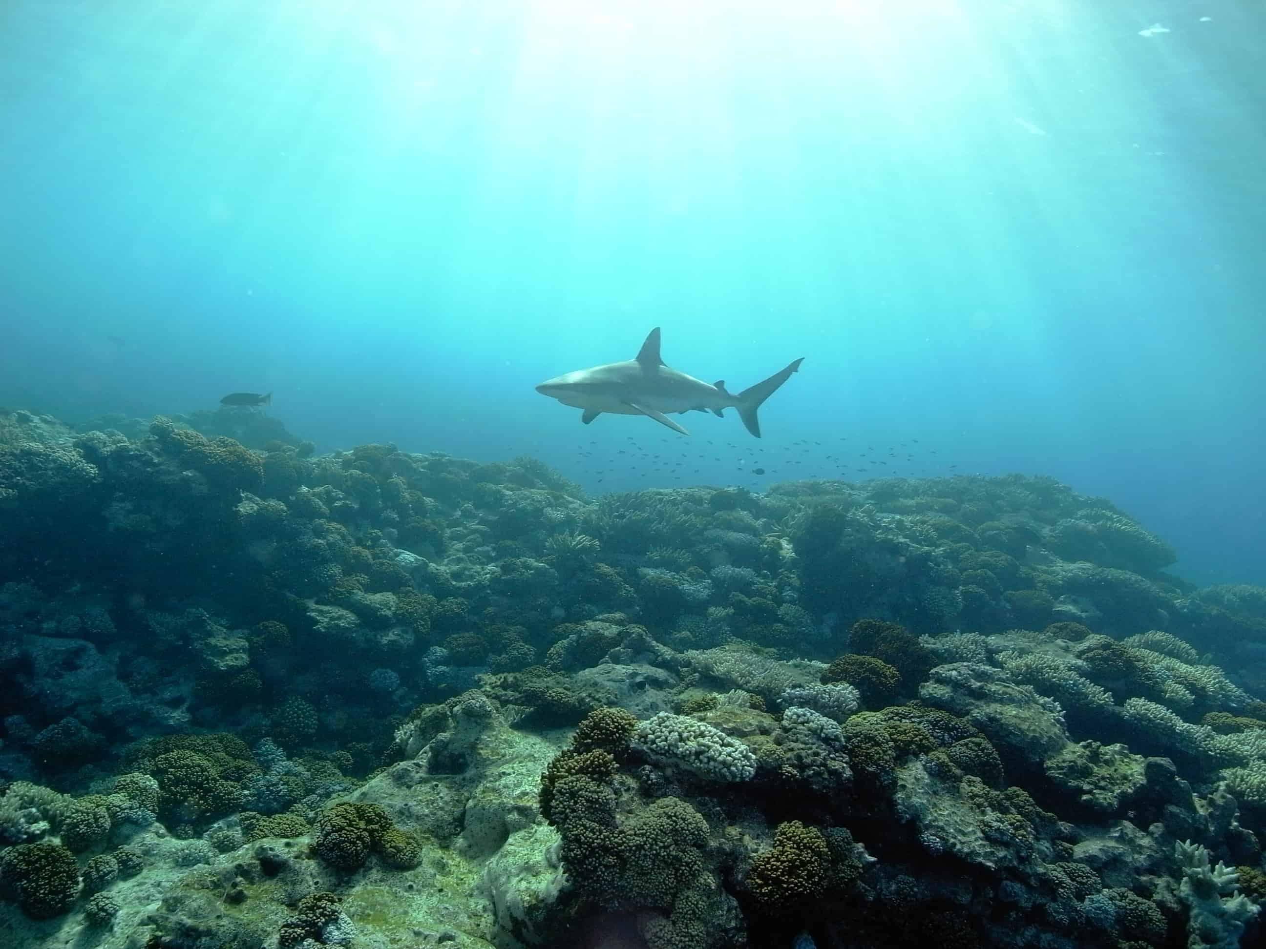 Gray reef shark patrols over the coral reef and below SV Southern Cross, Ducie Island. Copyright: Capt. Paul Green