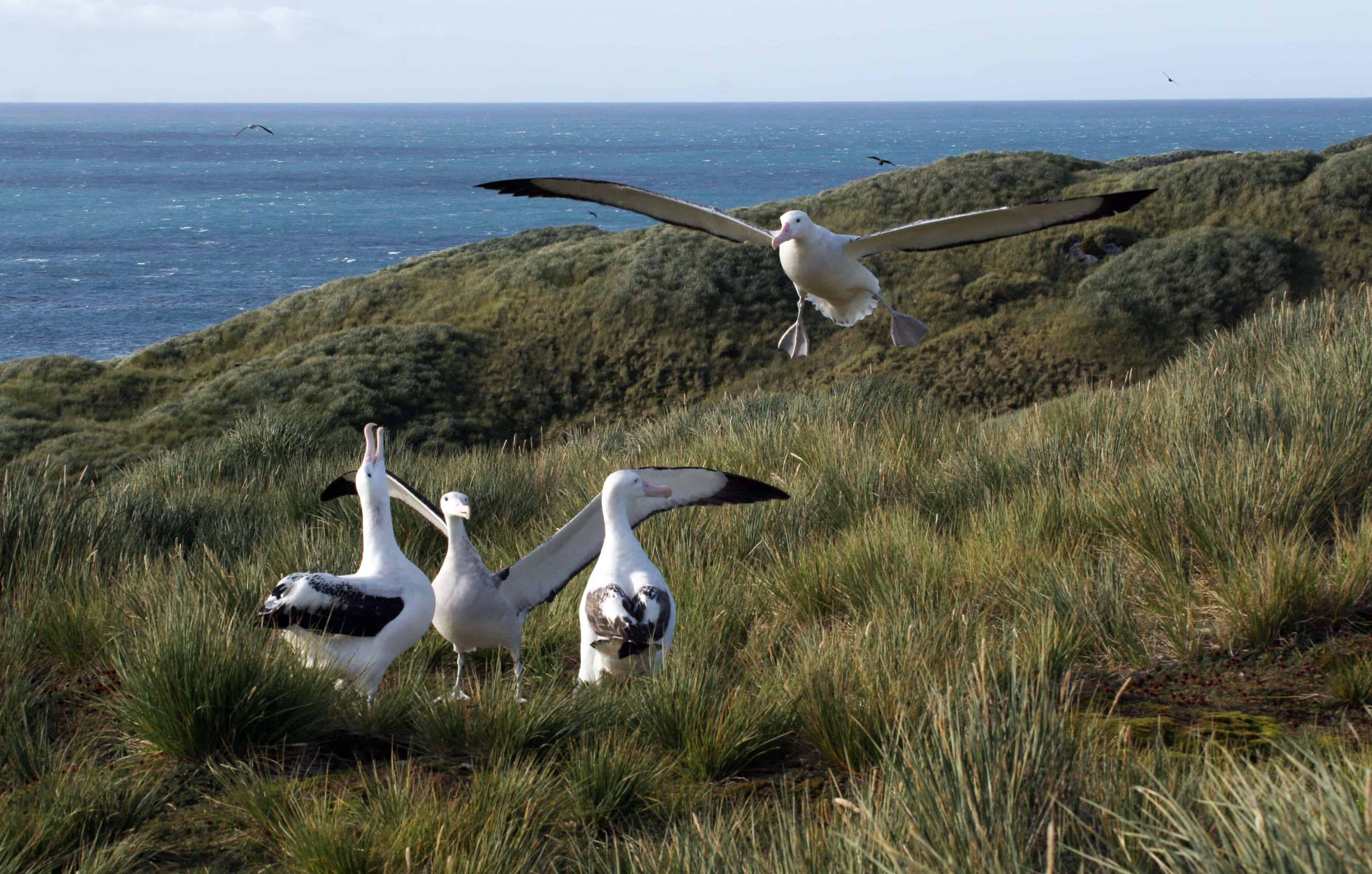 Wandering albatrosses display as another lands on breeding grounds in Bay of Isles. Copyright: Dr Mike Pienkowski