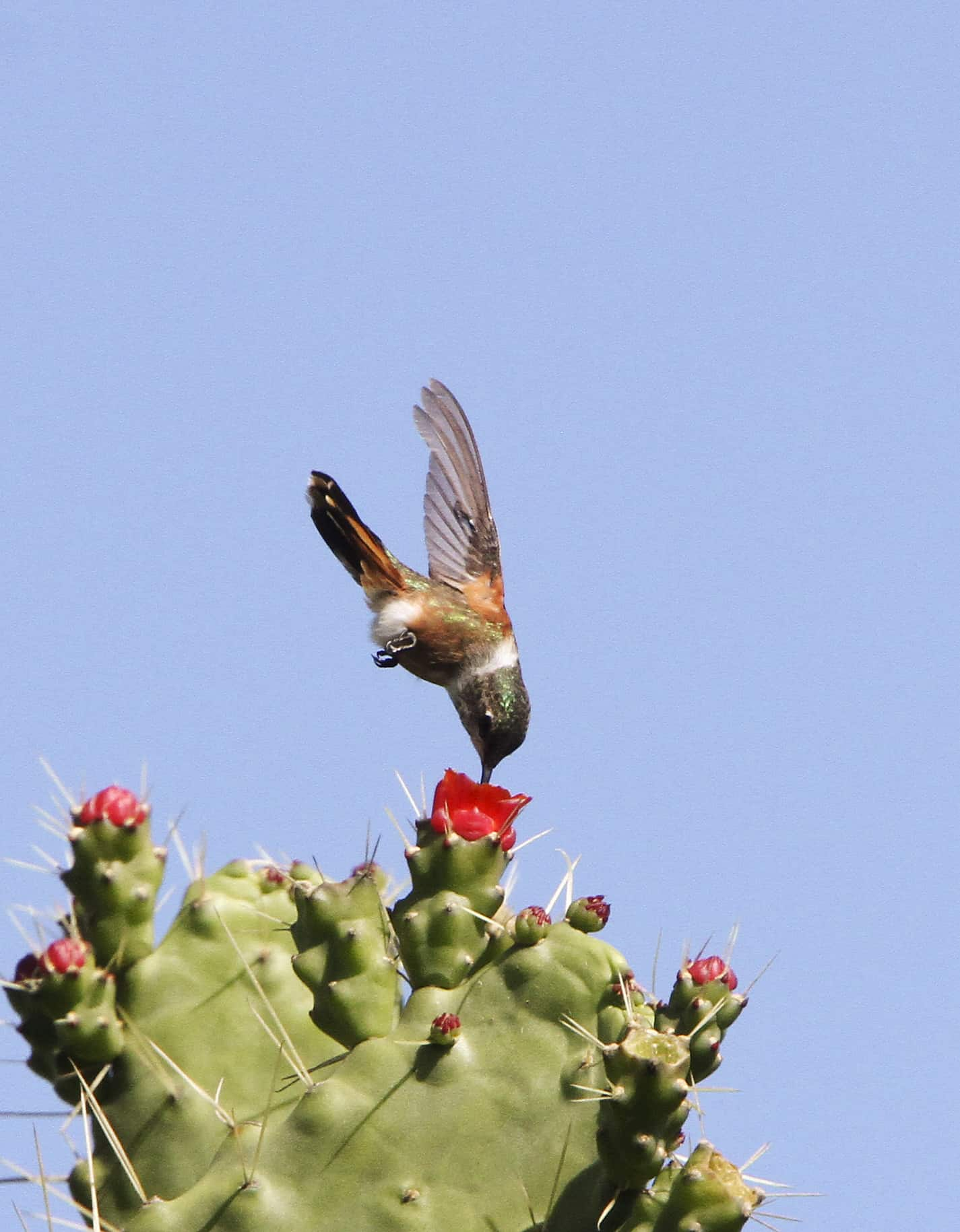 Bahama woodstar hummingbird (endemic to TCI and the Bahamas), feeding on nectar from the flower of a cactus. Copyright: Dr Mike Pienkowski