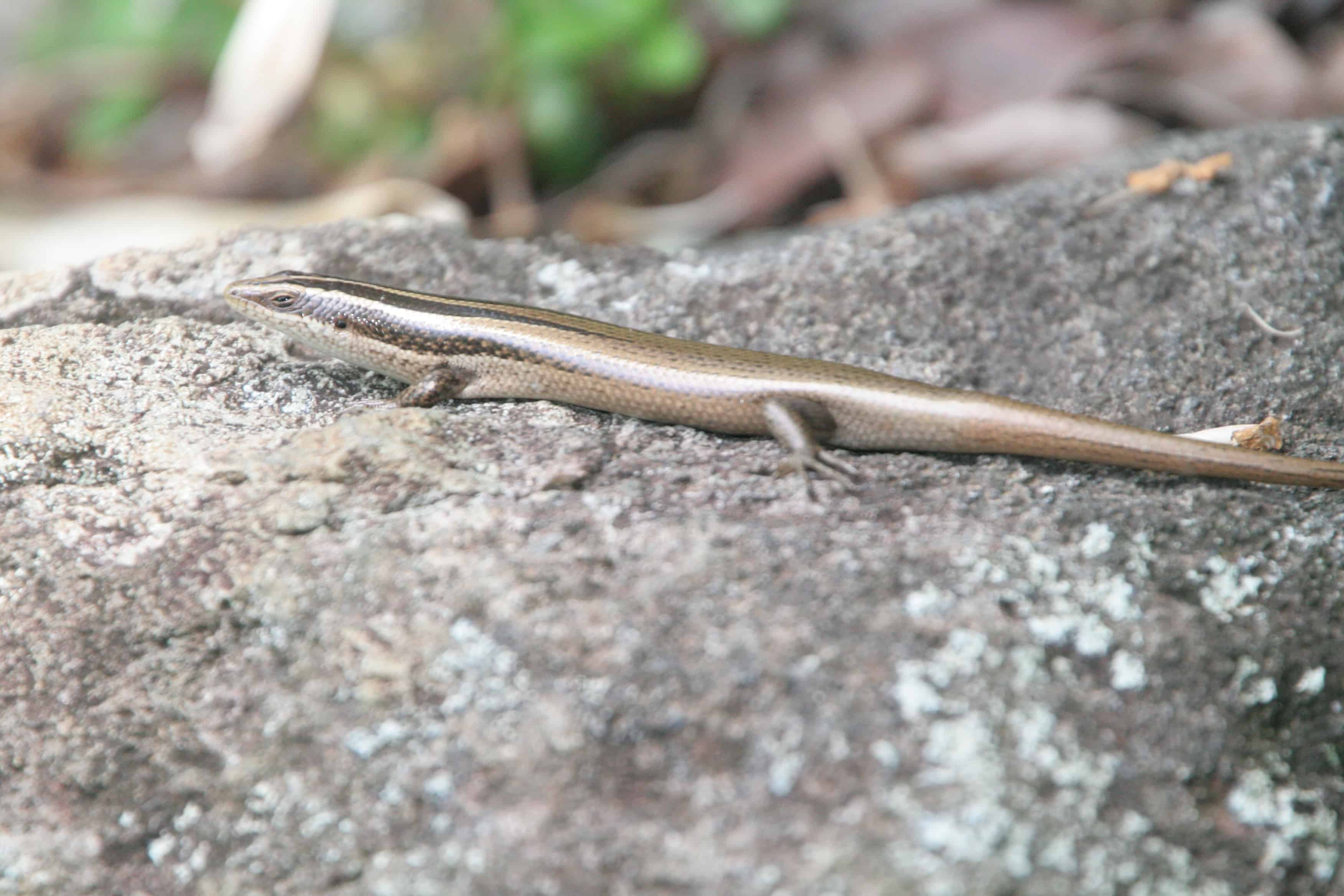 Lizard found in the BVI: Copyright: Dr Mike Pienkowski