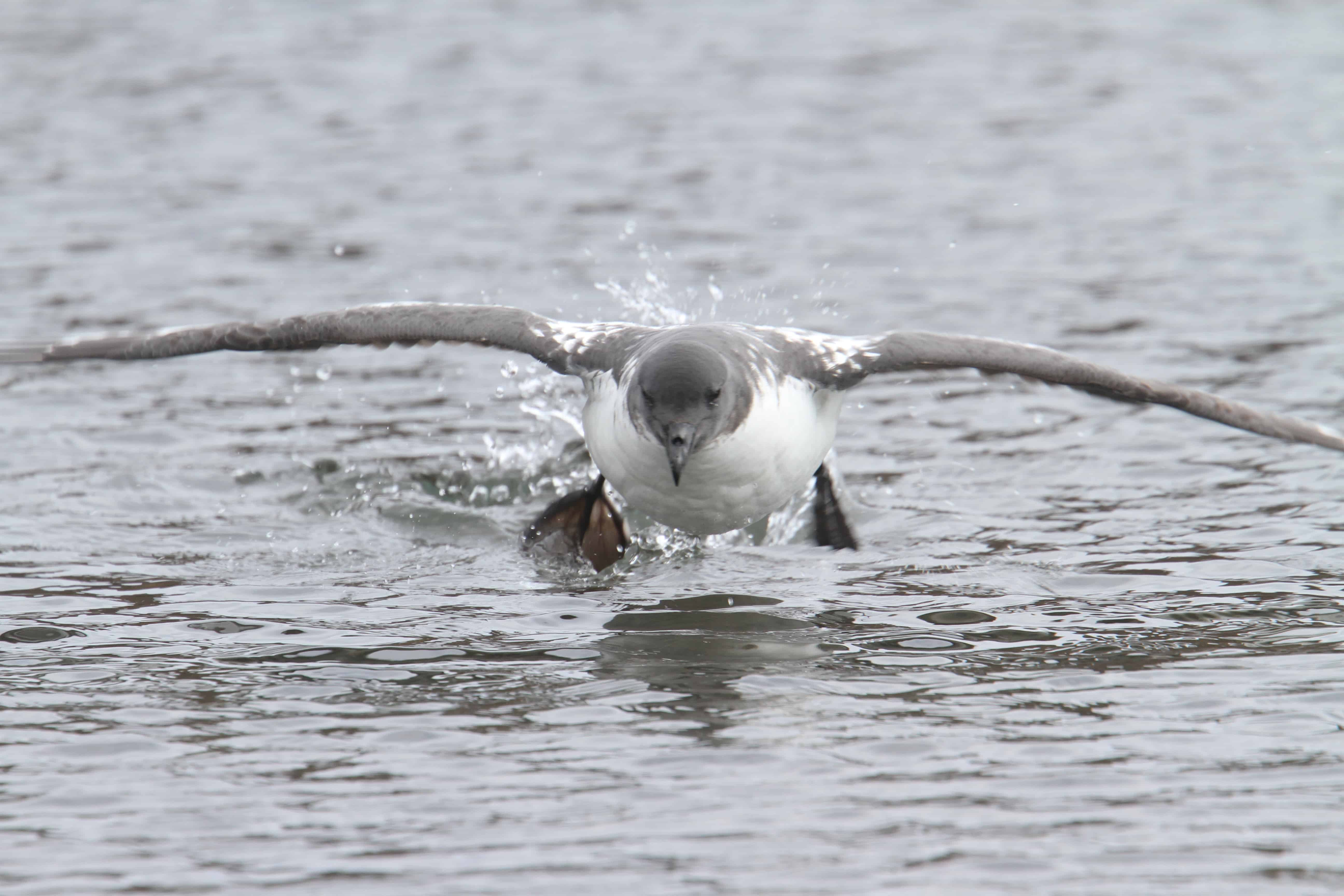 Cape petrel takes off from the lagoon in Deception Island, South Shetland Islands. Copyright: Dr Mike Pienkowski