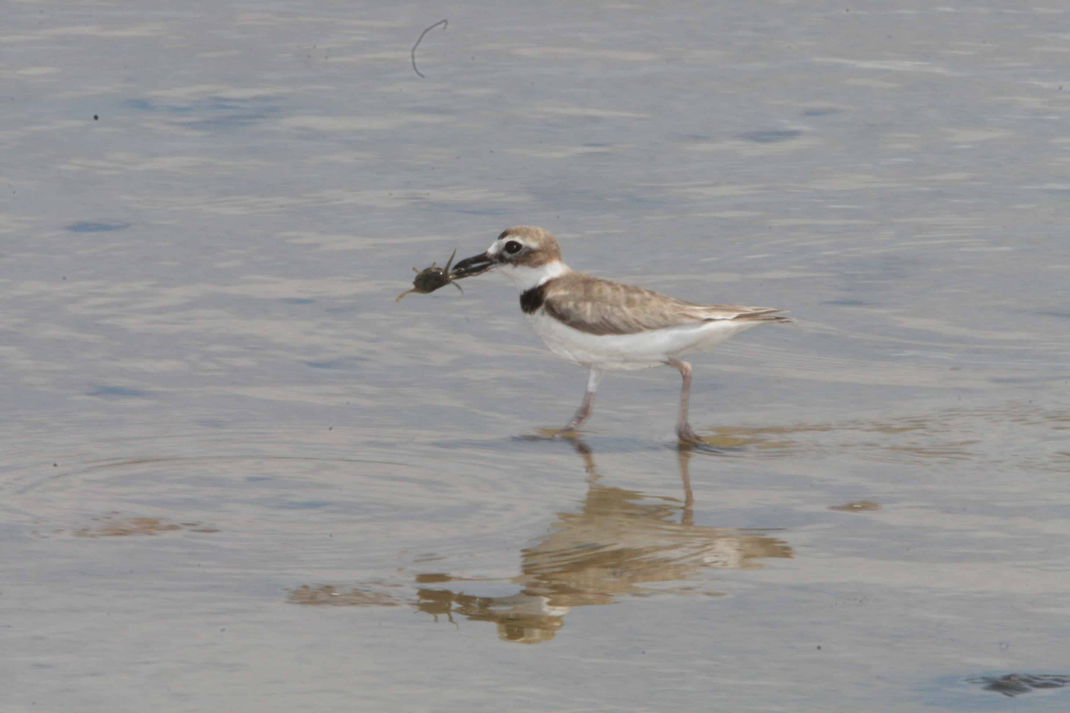 Wilson's plover captures crab; Copyright: Dr Mike Pienkowski