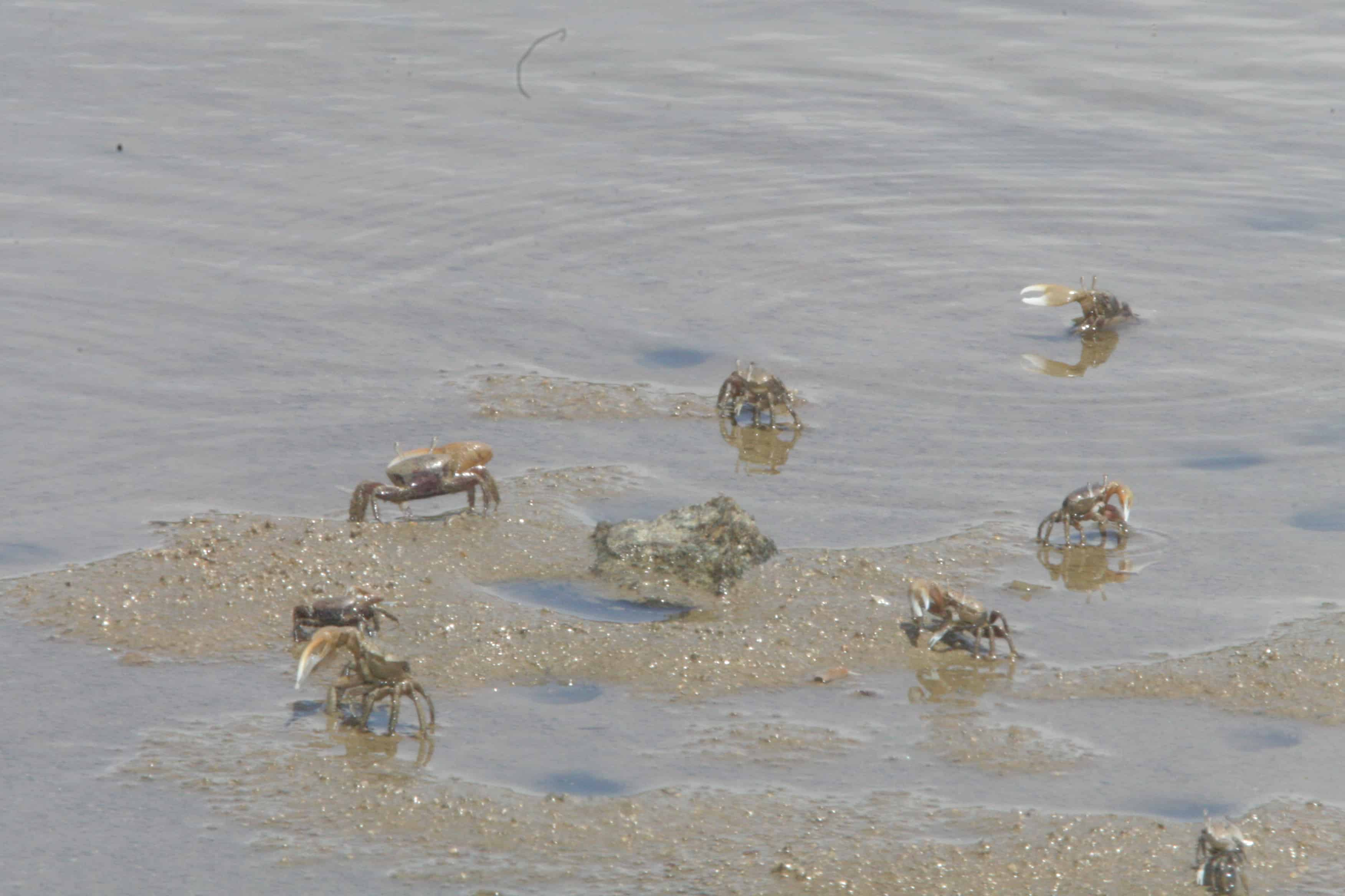Wilson's plover captures crab, some areas being rather rich in several species of these (above right). Copyright: Dr Mike Pienkowski