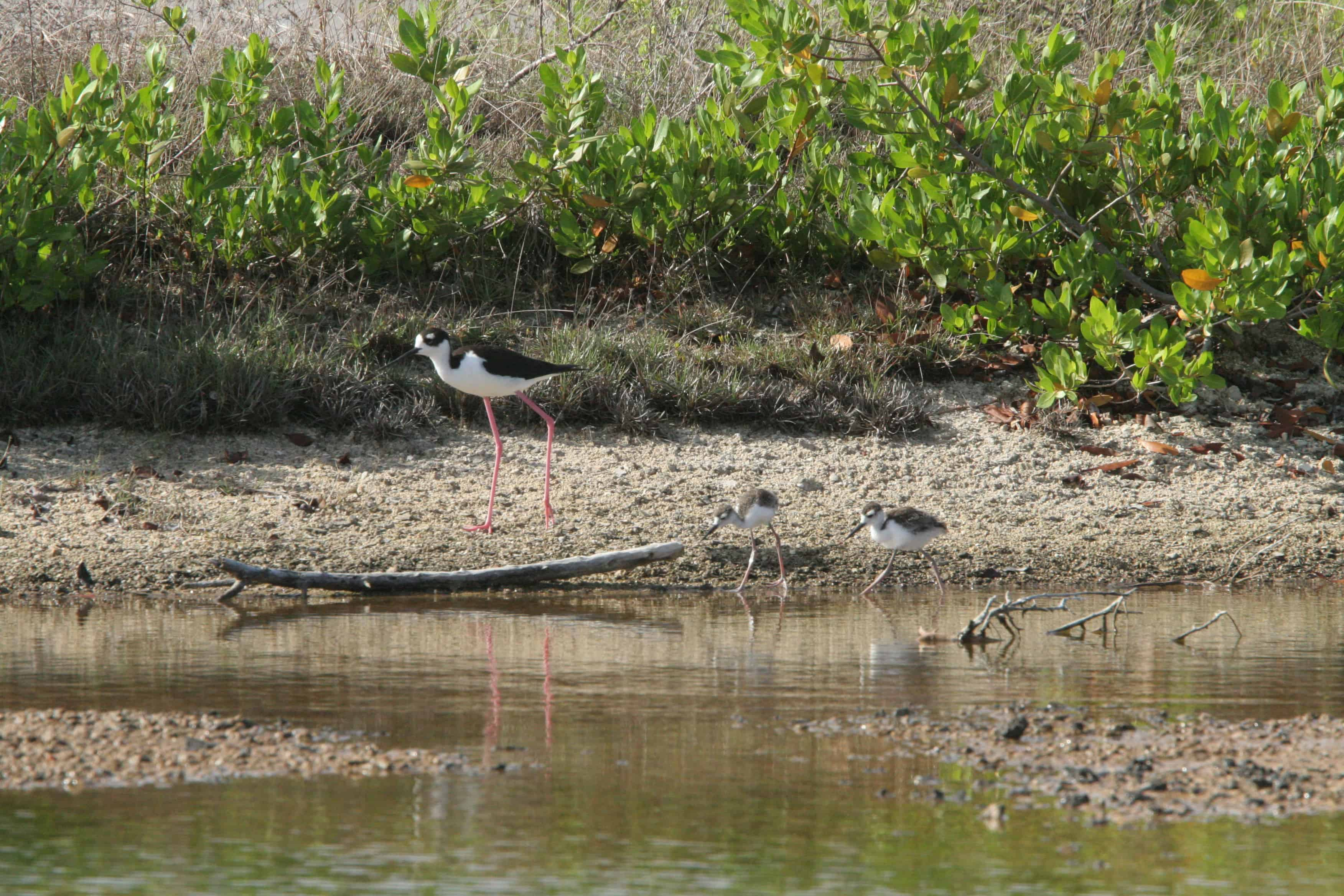 On one of the Mainland ponds, black-necked stilt guards and guides chicks which, like most shorebird chicks, hunt their own food even when newly hatched. Copyright: Dr Mike Pienkowski