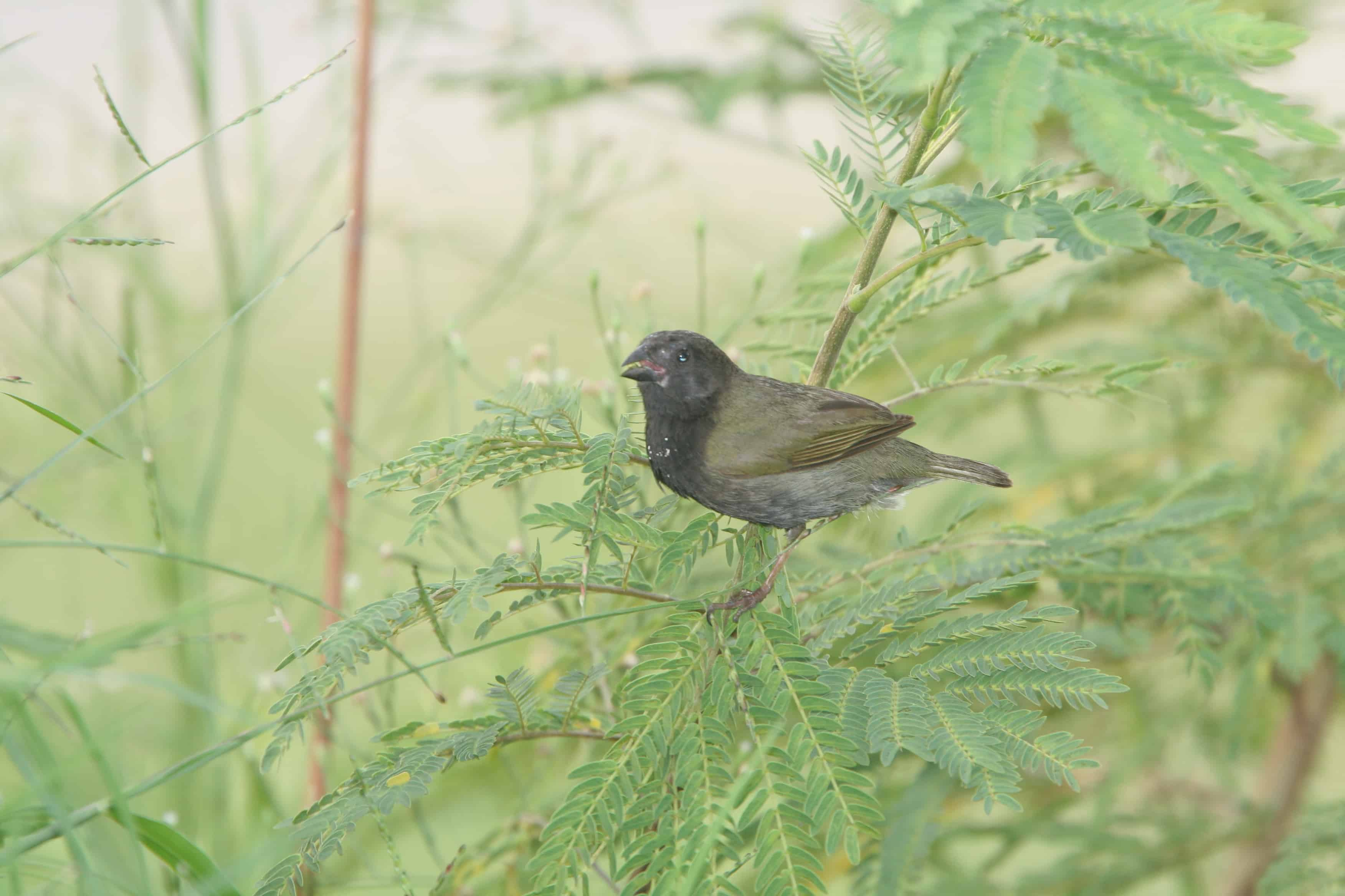 Male black-faced grassquit, a bird of scrub and grassland; Copyright: Dr Mike Pienkowski