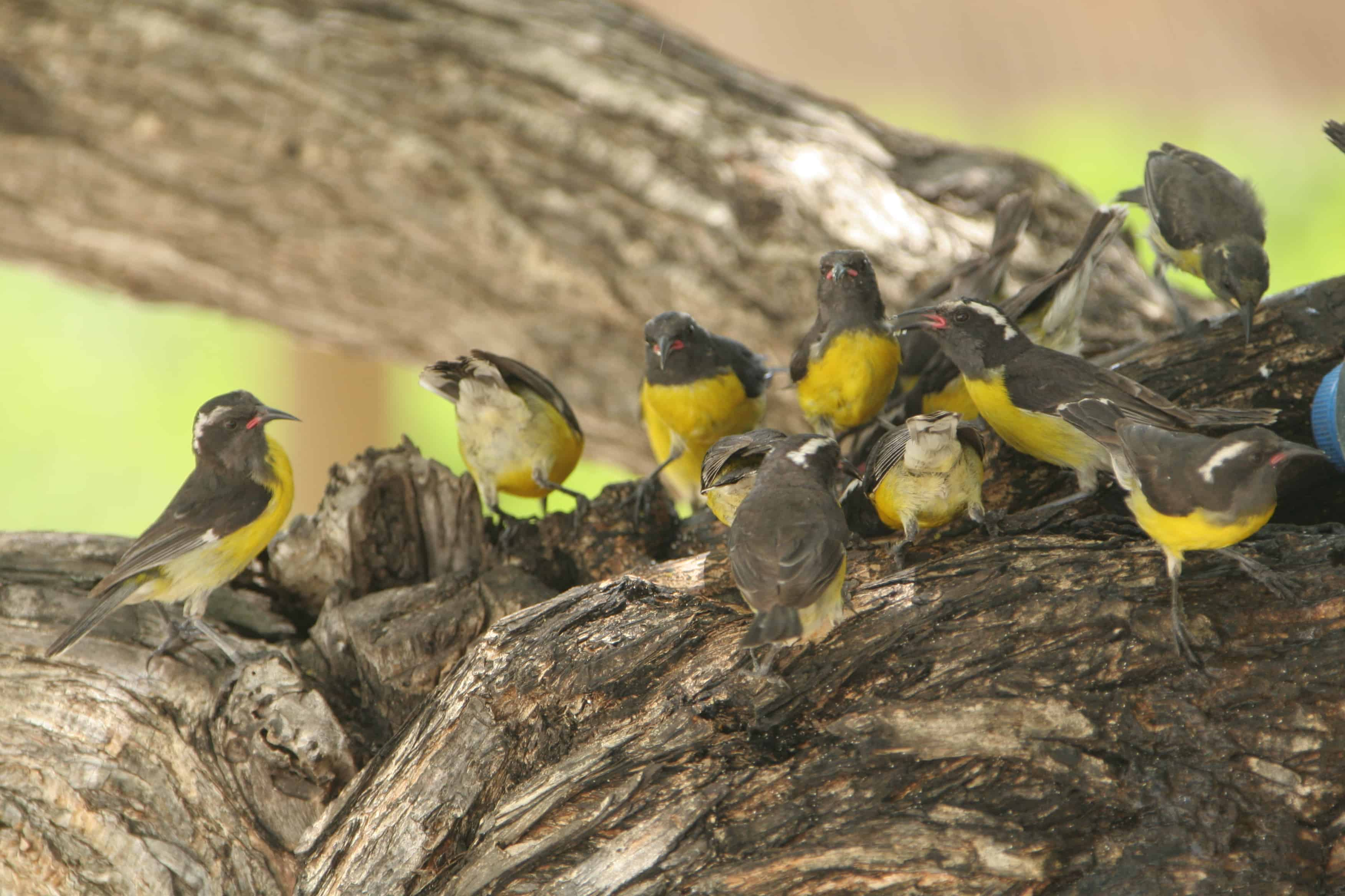 Gathering of bananaquits, the commonest land-birds on the island and ones which gather together at food sources. Copyright: Dr Mike Pienkowski