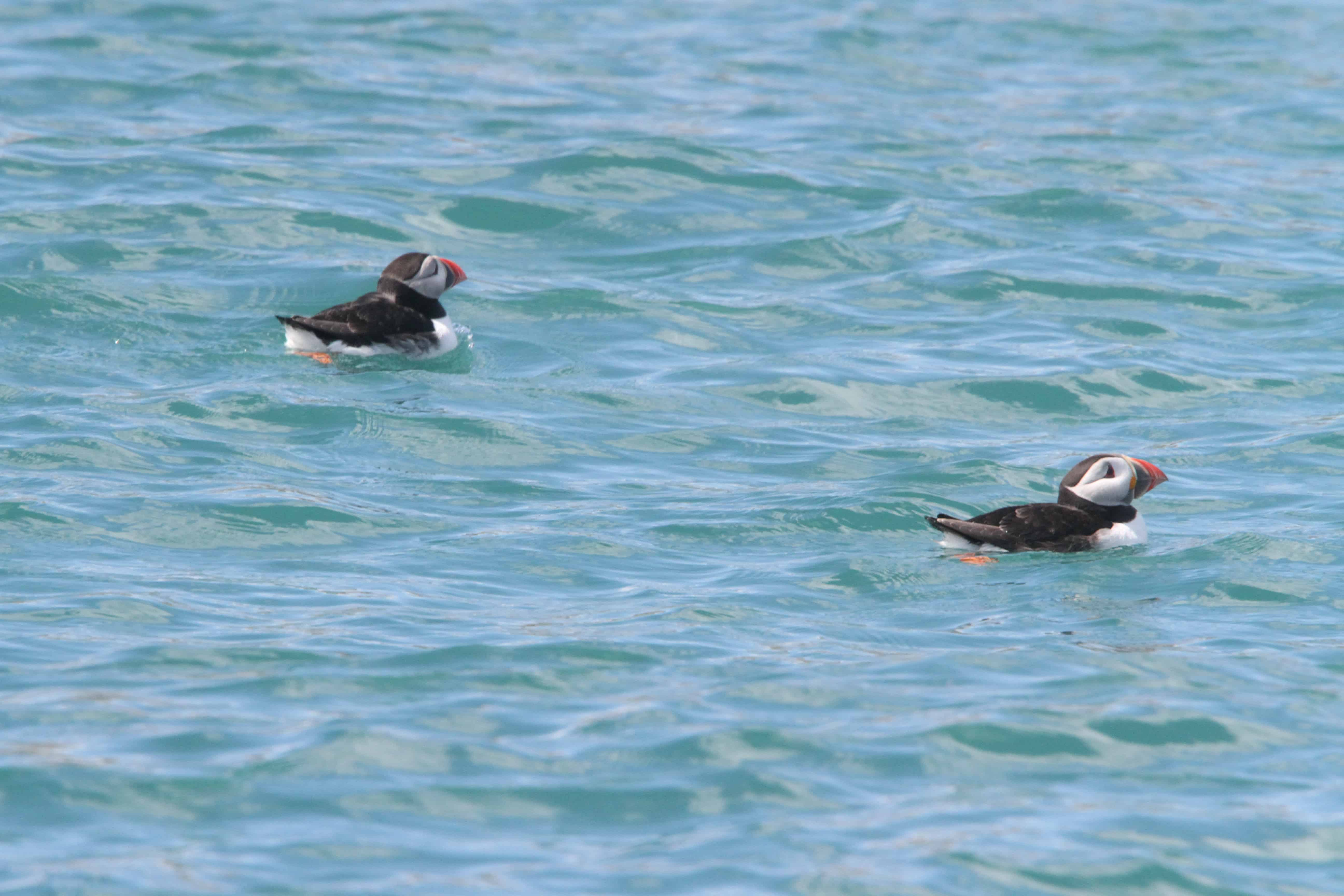 Puffins swim closely to their colony on Burhou. Copyright: Dr Mike Pienkowski