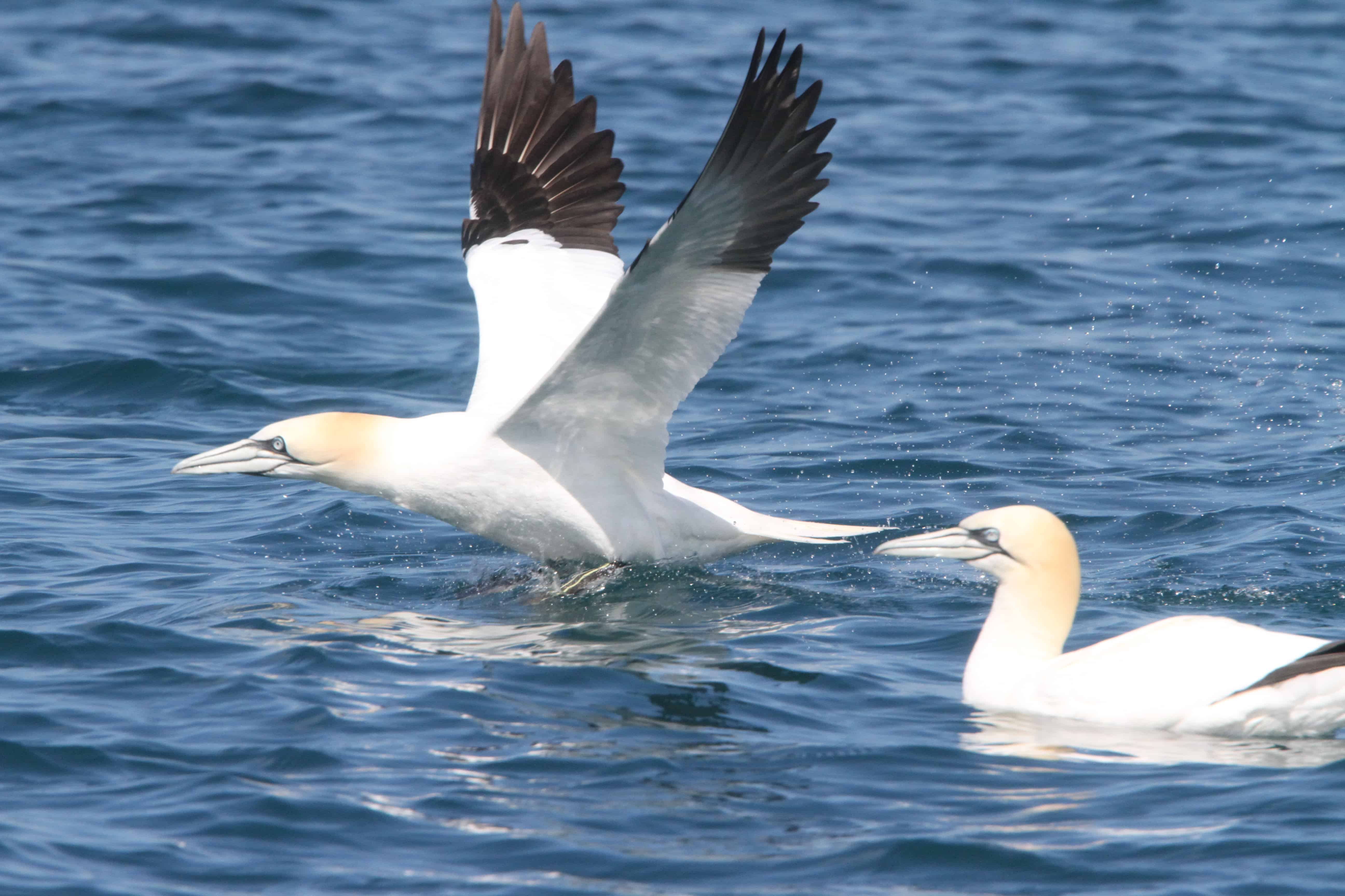 Gannet takes off from the sea near the colony. Copyright: Dr Mike Pienkowski