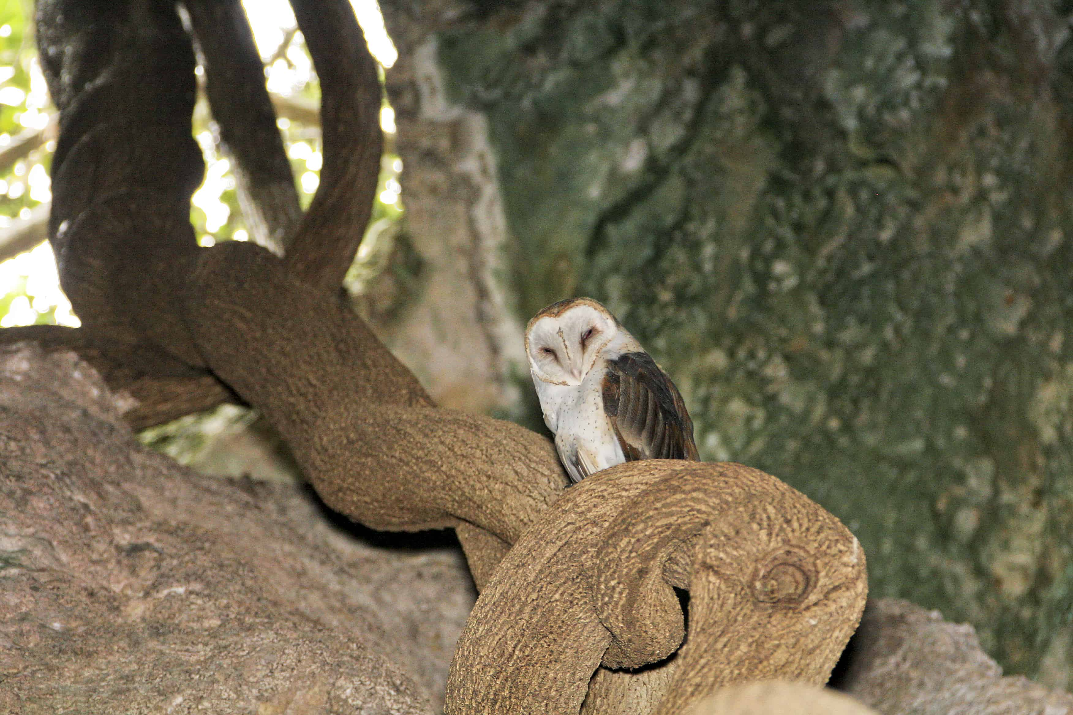 Barn owl rests during the day on a large strangler fig tree growing through a solution hole in the roof of a cave, Middle Caicos.
