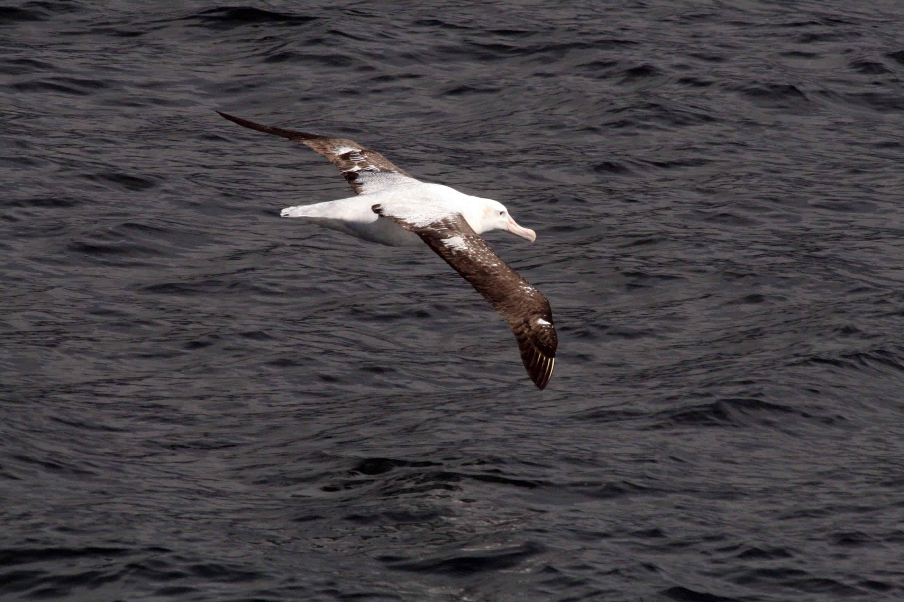 Tristan albatross Diomedea dabbenena, off Gough Island.