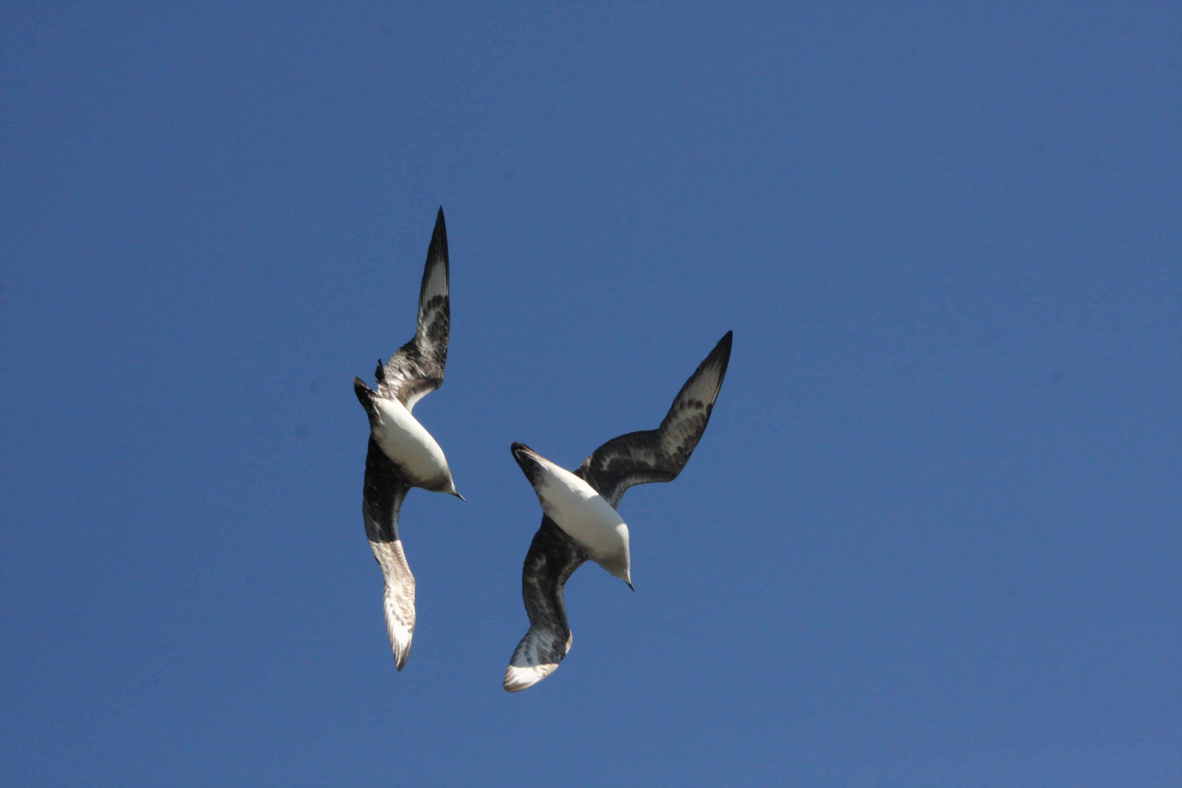 A pair of Kermadec petrels in display flight over the breeding grounds on Ducie Island. Several species of petrels breed on Ducie, Henderson and Oeno Island, in some cases constituting major parts of the world populations. Copyright: Dr Mike Pienkowski