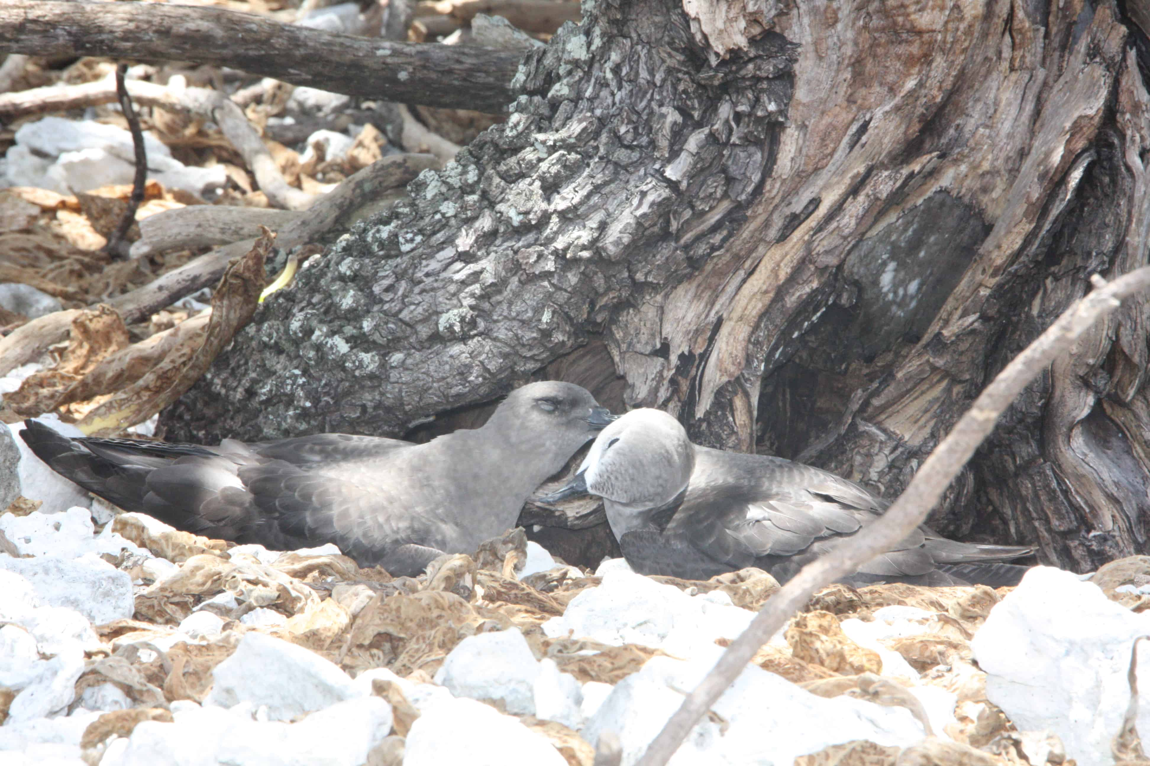 A pair of Kermadec petrels on nesting site at Ducie Island; Copyright: Dr Mike Pienkowski