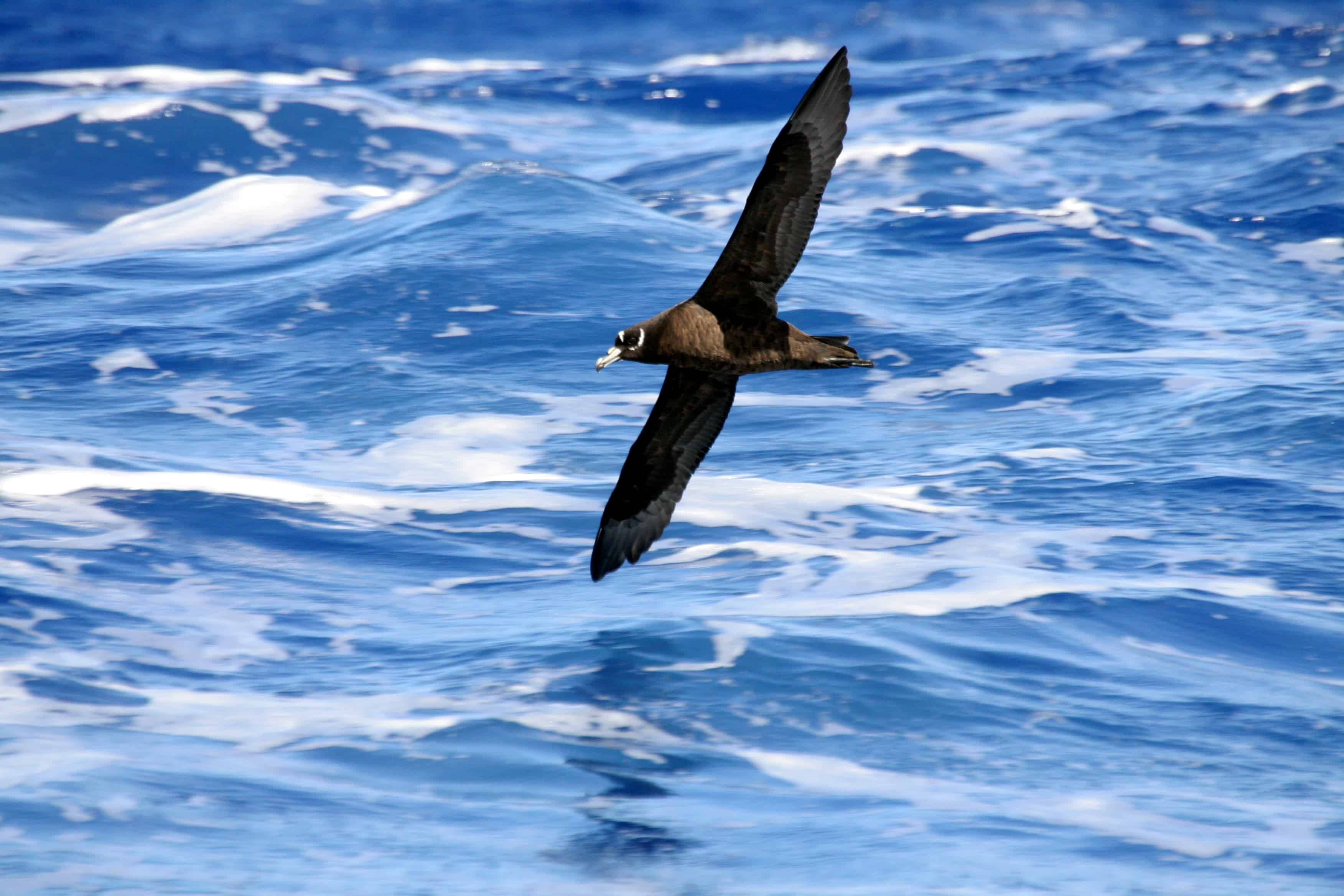 Spectacled petrel Procellaria conspicillata off Tristan da Cunha group; this species breeds only on Inaccessible Island. Copyright: Dr Mike Pienkowski