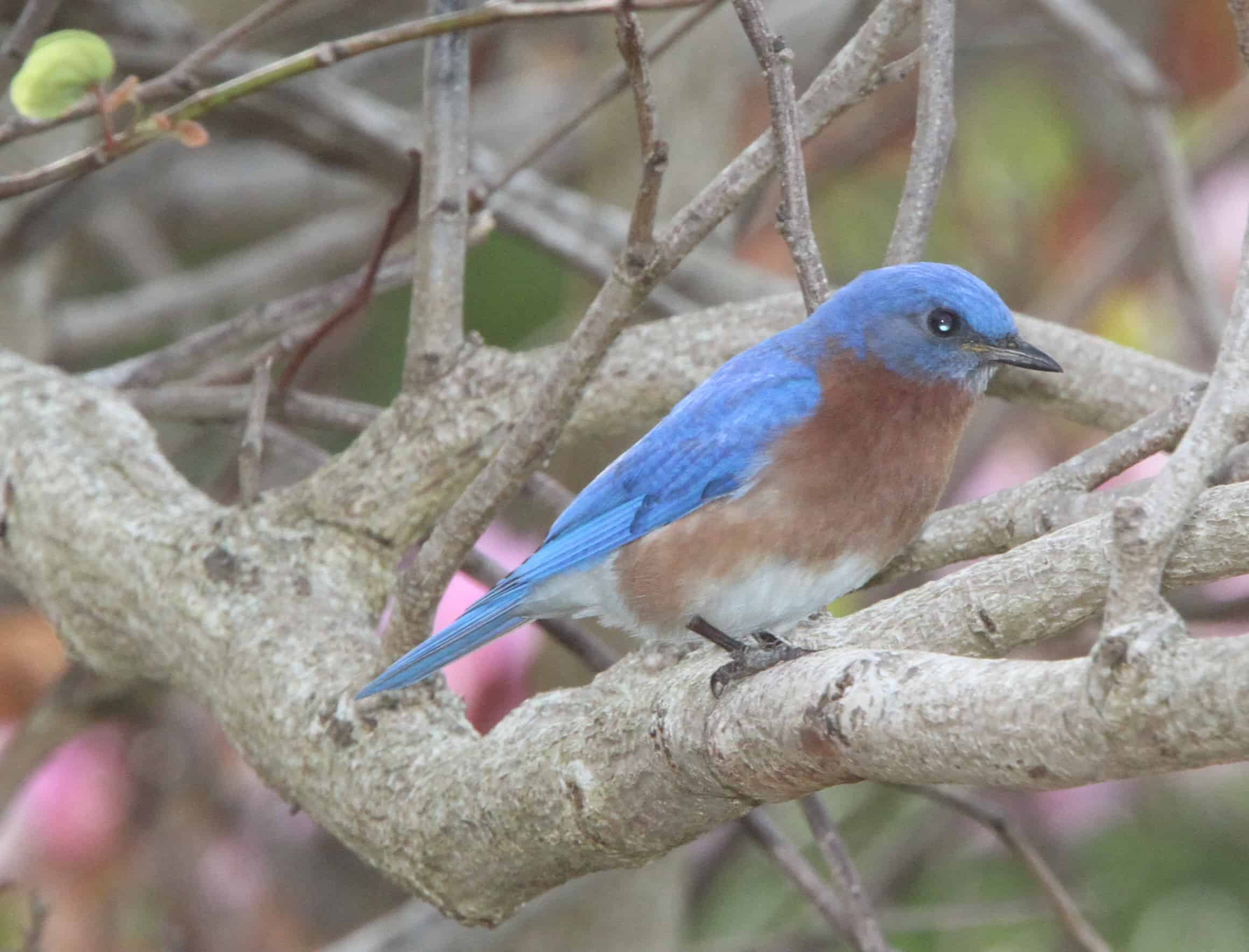 Eastern bluebird, a common resident. Copyright: Dr Mike Pienkowski
