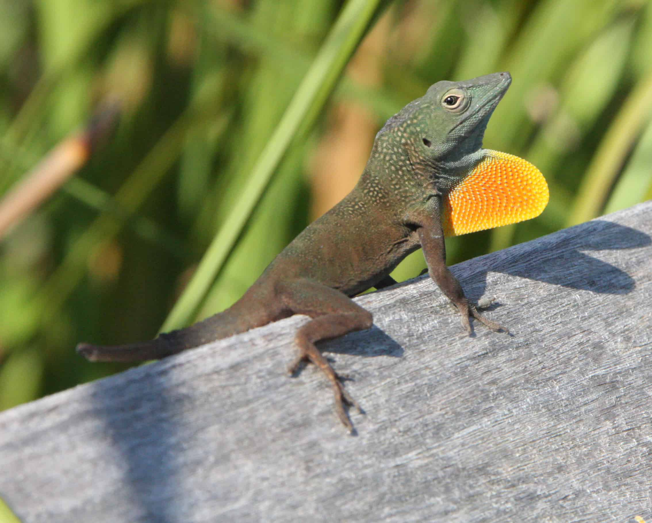 An introduced male anole lizard in display; Copyright: Dr Mike Pienkowski